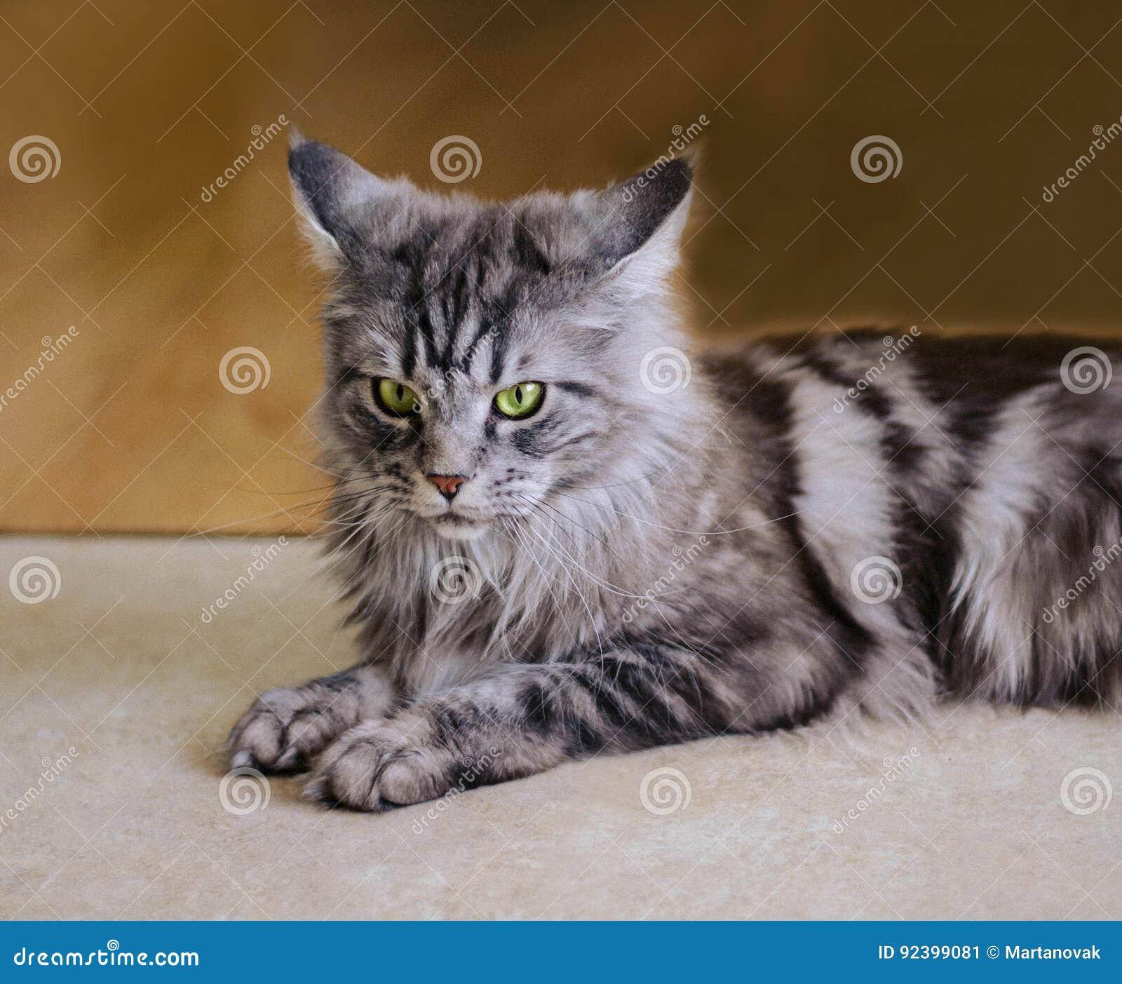 maine coon de grootste kat portret van grijze grote katten