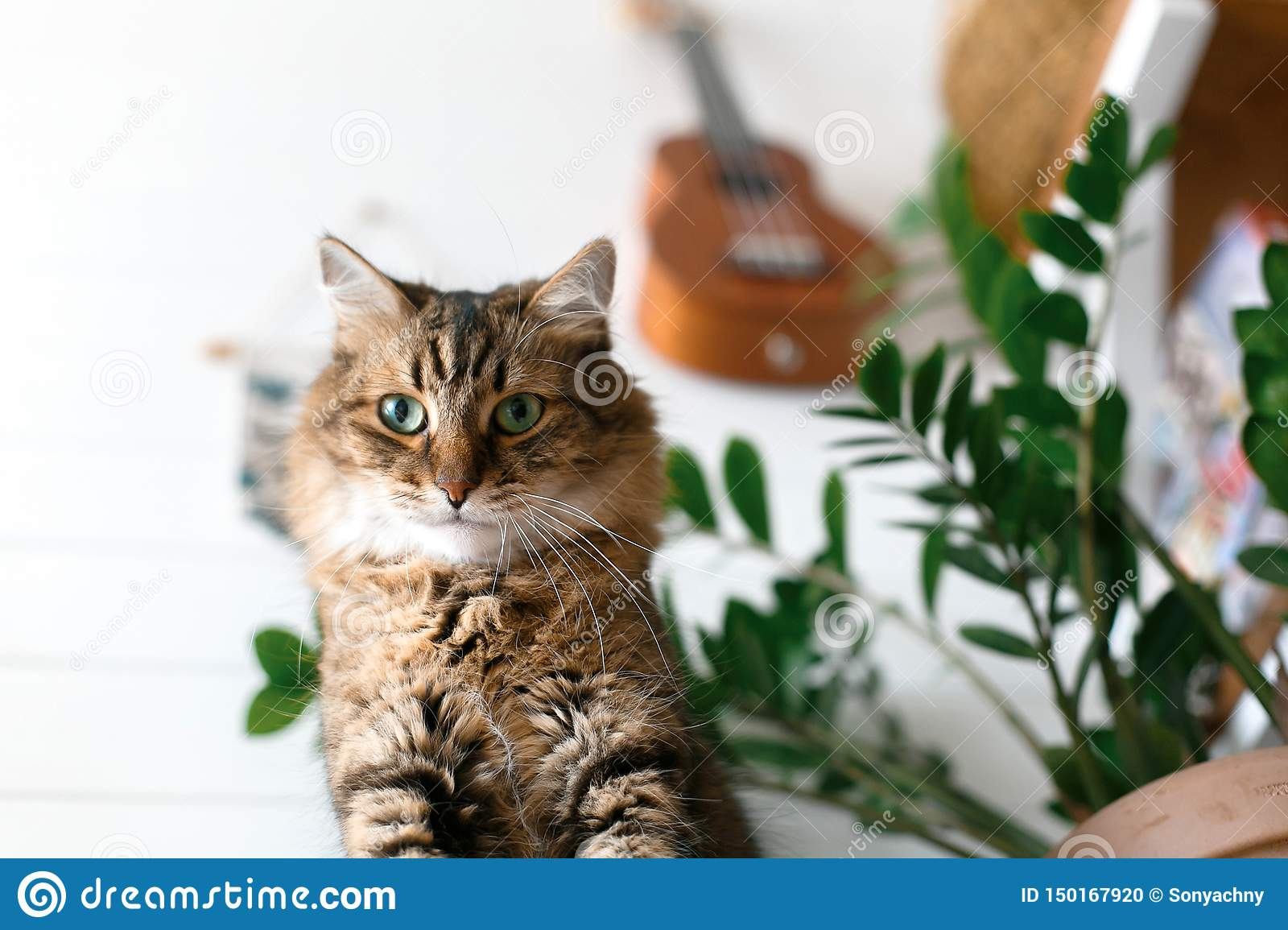 Maine coon with green eyes looking with funny emotions at zamioculcas leaves. Cute cat sitting under green plant branches on