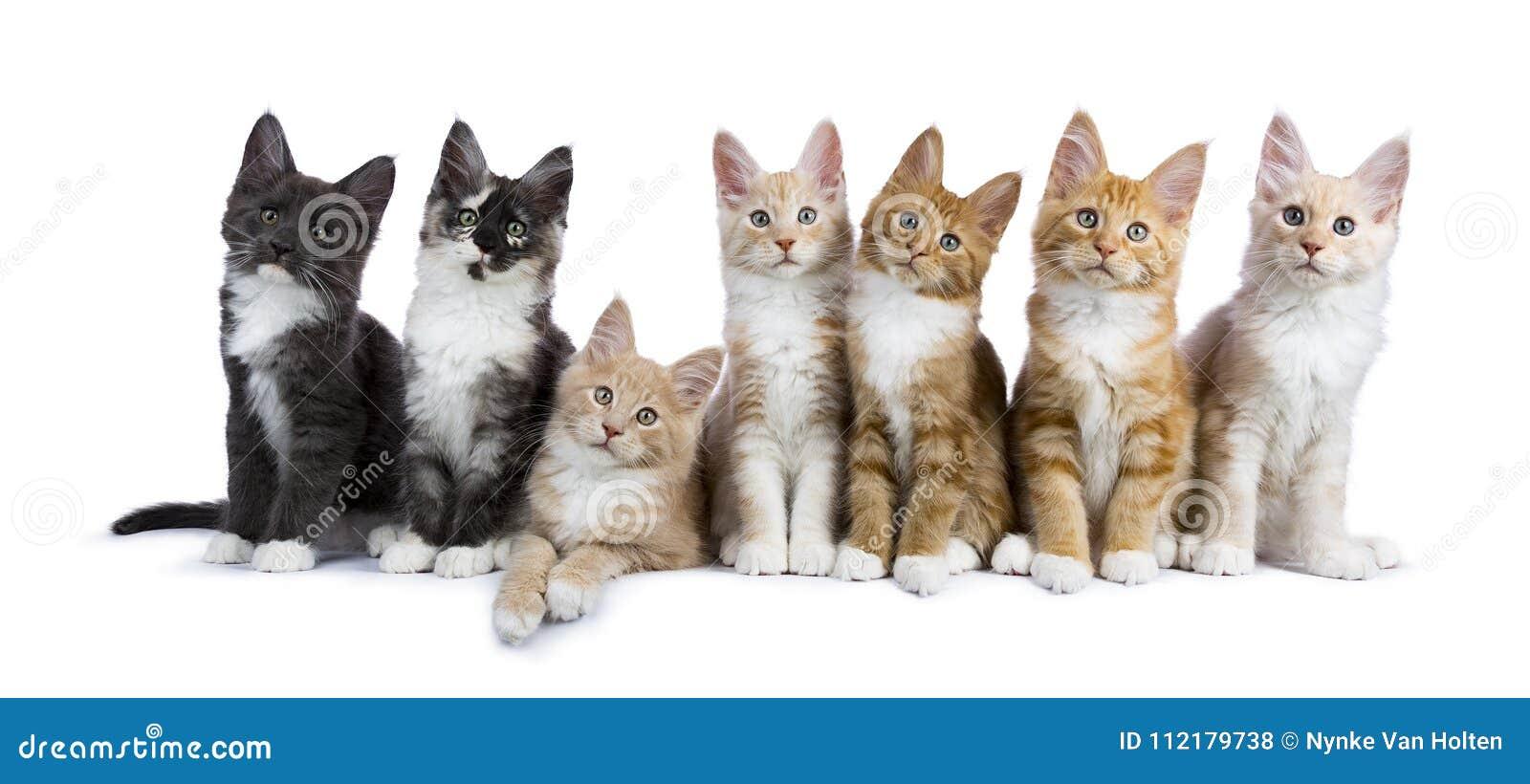 7 Maine Coon-Kätzchen auf Weiß