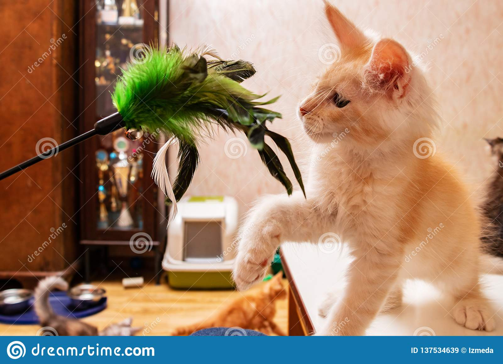 Maine Coon-katje het spelen met een stuk speelgoed voor katten