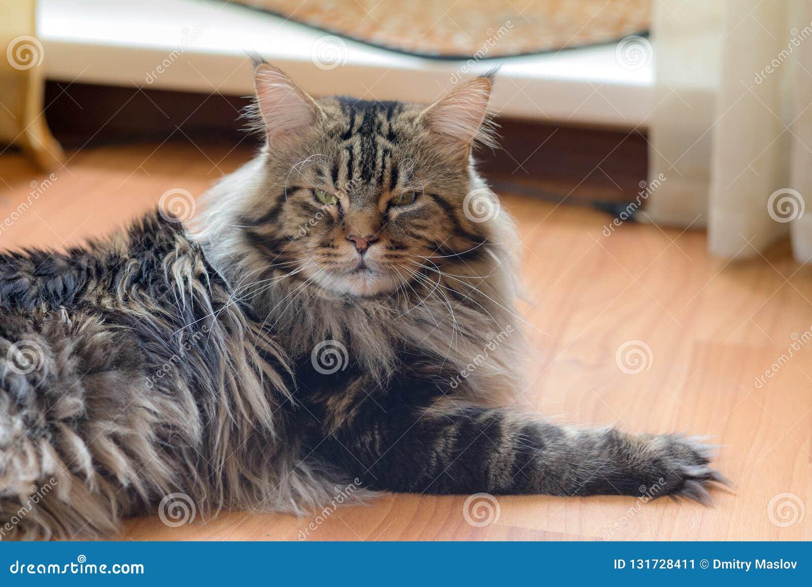 Maine Coon katt på golvet