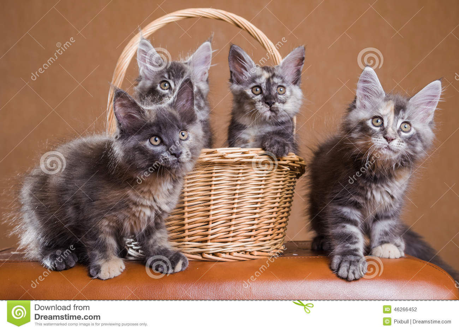 Maine Coon kattungar