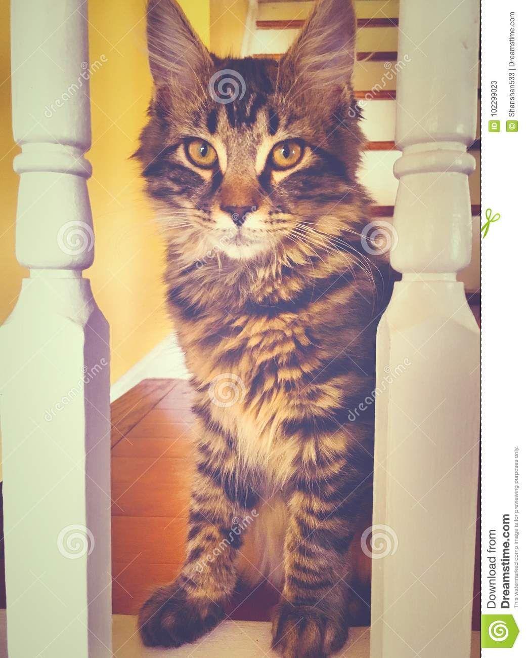 A Maine Coon Kitten Cat Staring Stock Image - Image of black