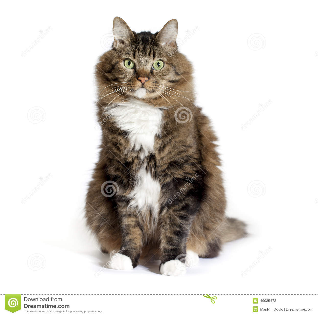 how to understand a maine coon