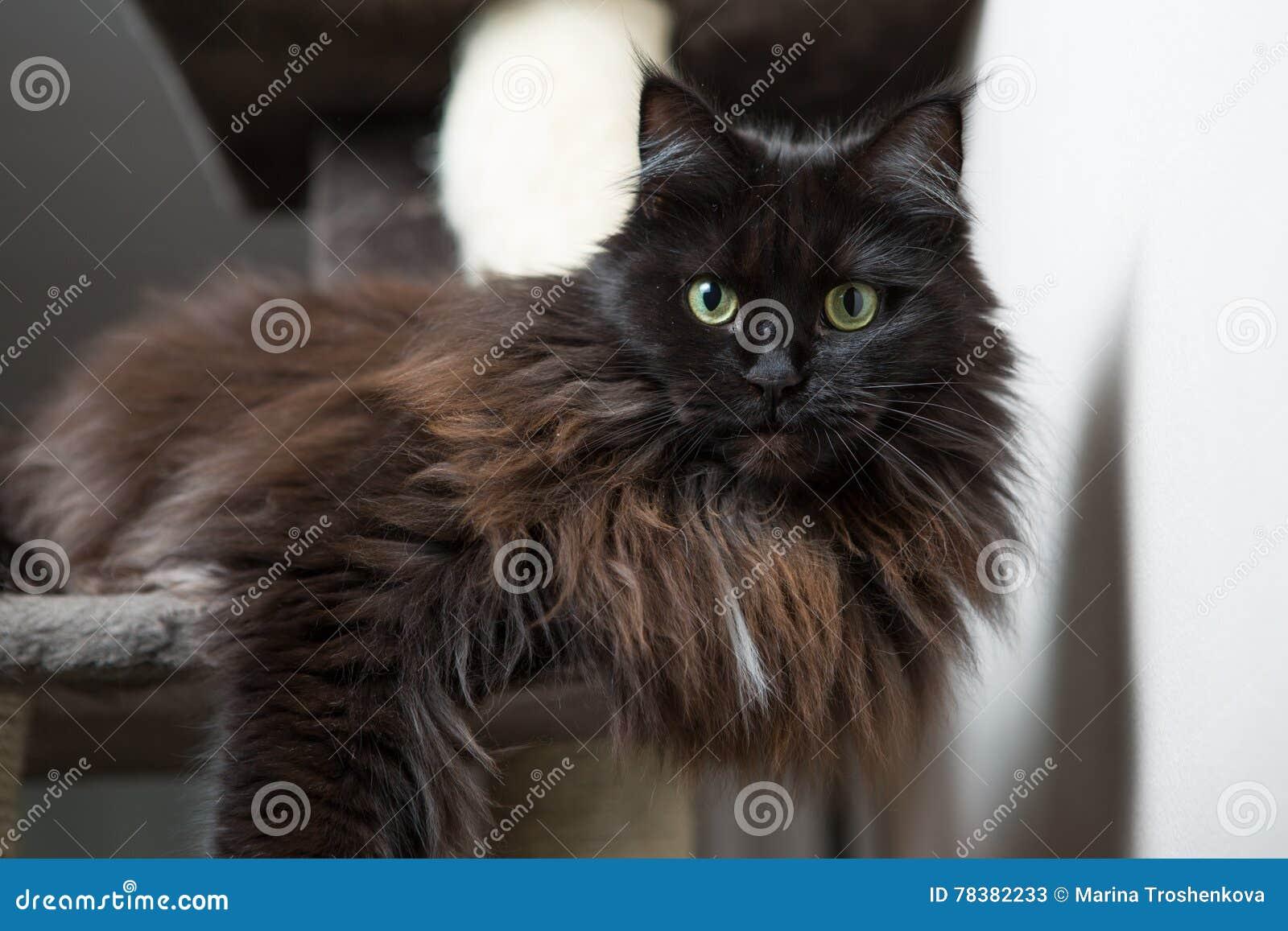 Maine Coon que encontra-se na casa do gato