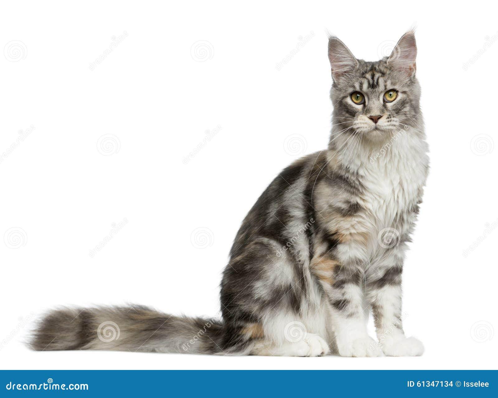 Alaskan Lynx Cat Breed