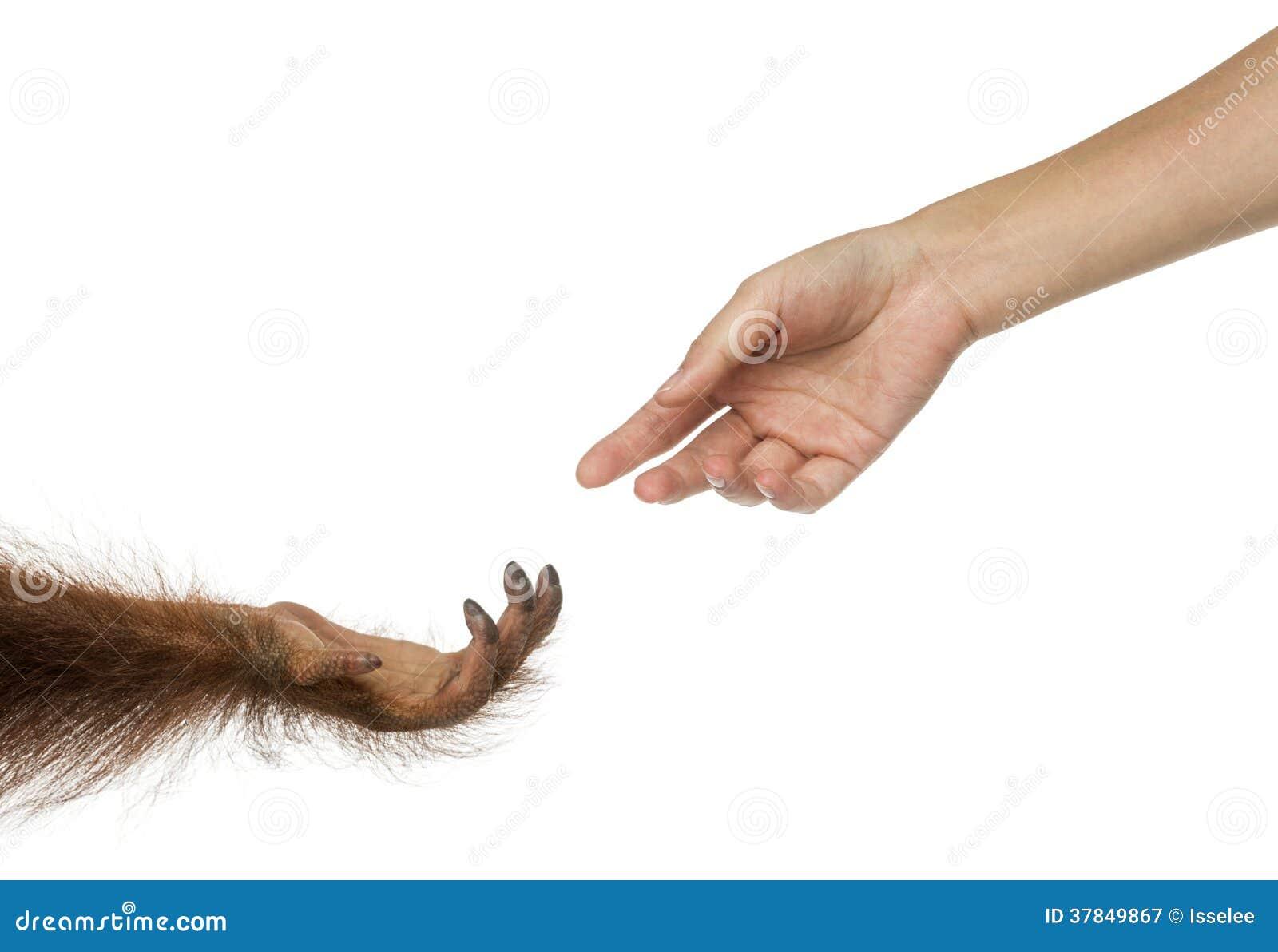 Mains d orang-outan et d humain de Bornean atteignant à l un l autre