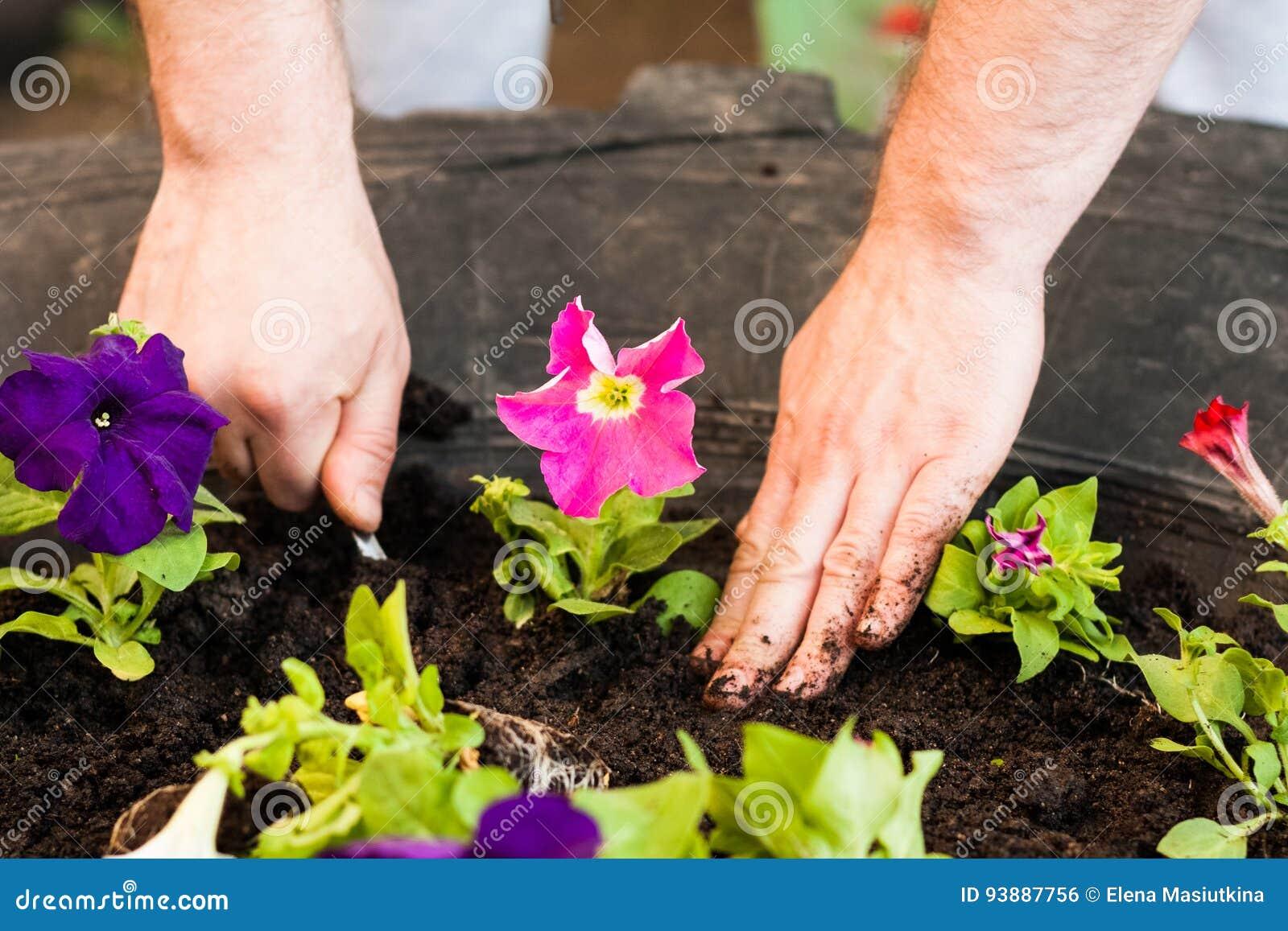 Mains du pétunia de Put Seedling Flowers d agriculteur des hommes dans le jardin