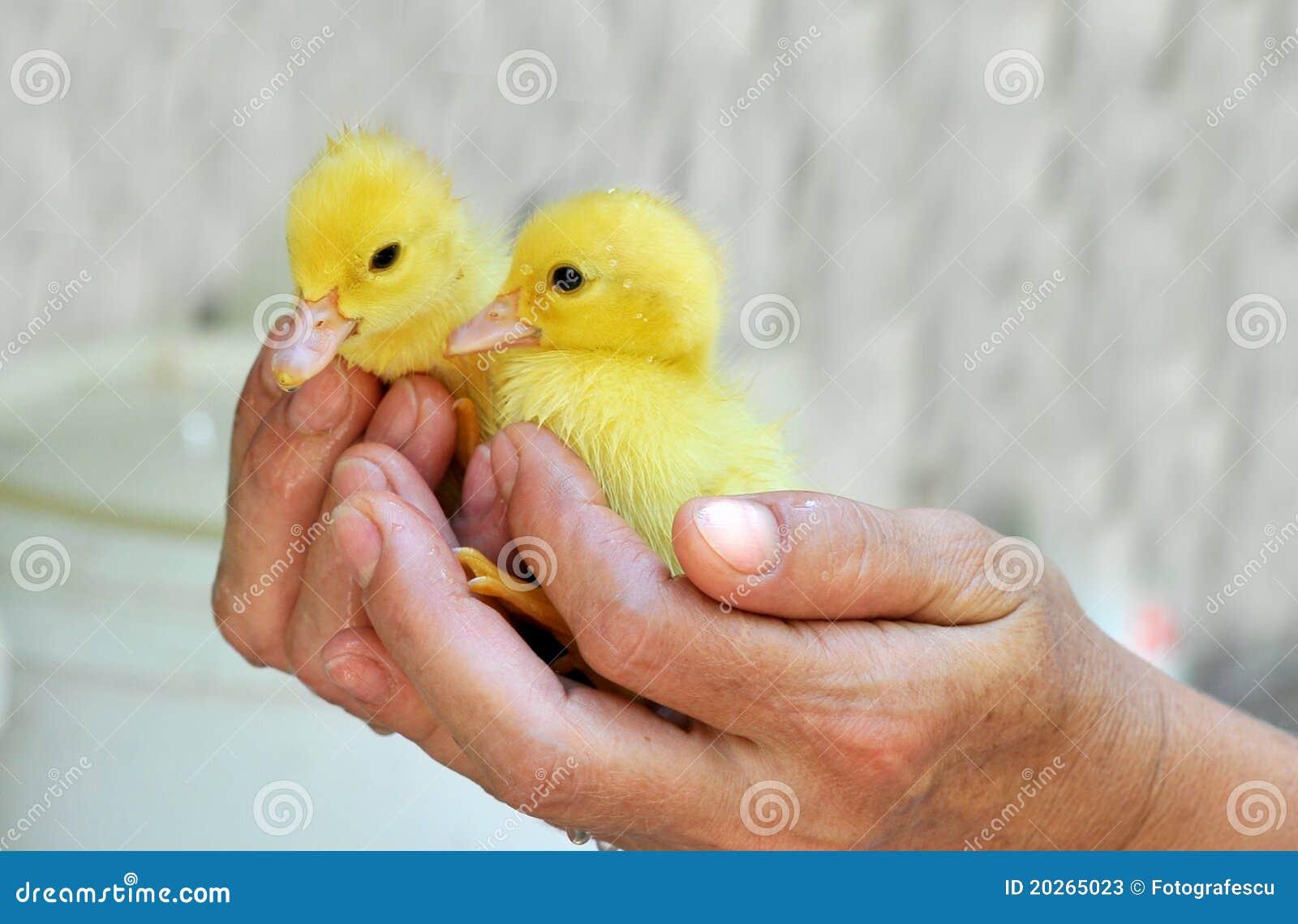Mains retenant deux canards de chéri