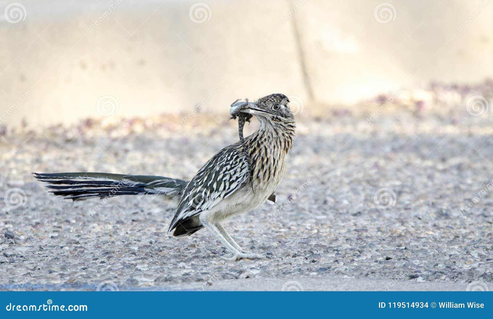 Maior pássaro do Roadrunner com o lagarto no bico, Tucson o Arizona, EUA