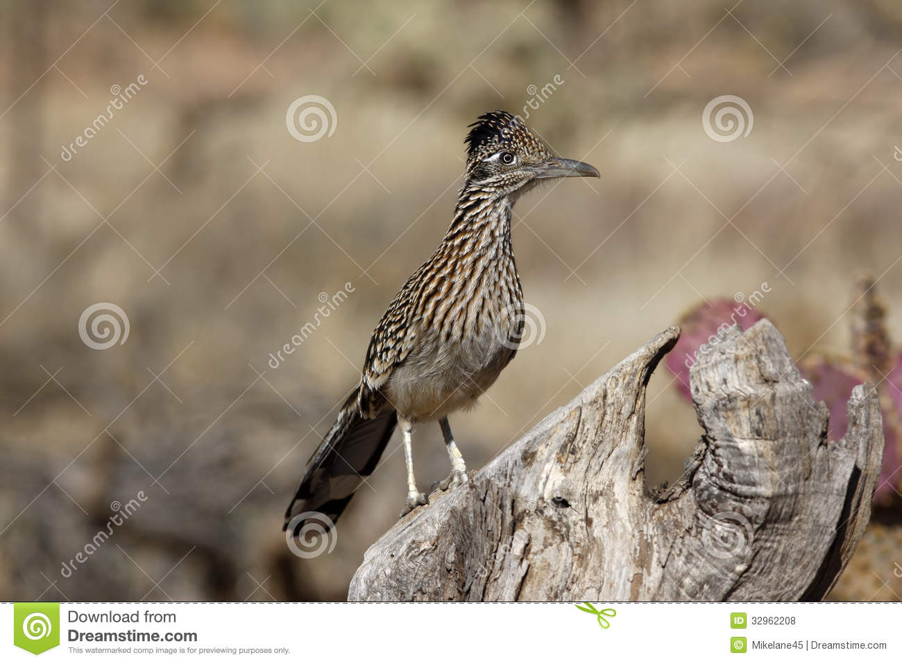 Maior roadrunner, californianus do Geococcyx