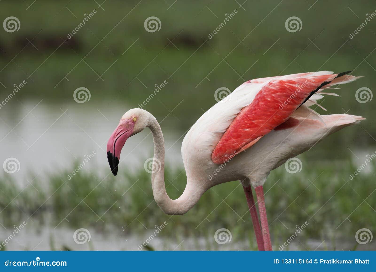 Maiores asas do flamingo fechadas em Gujarat