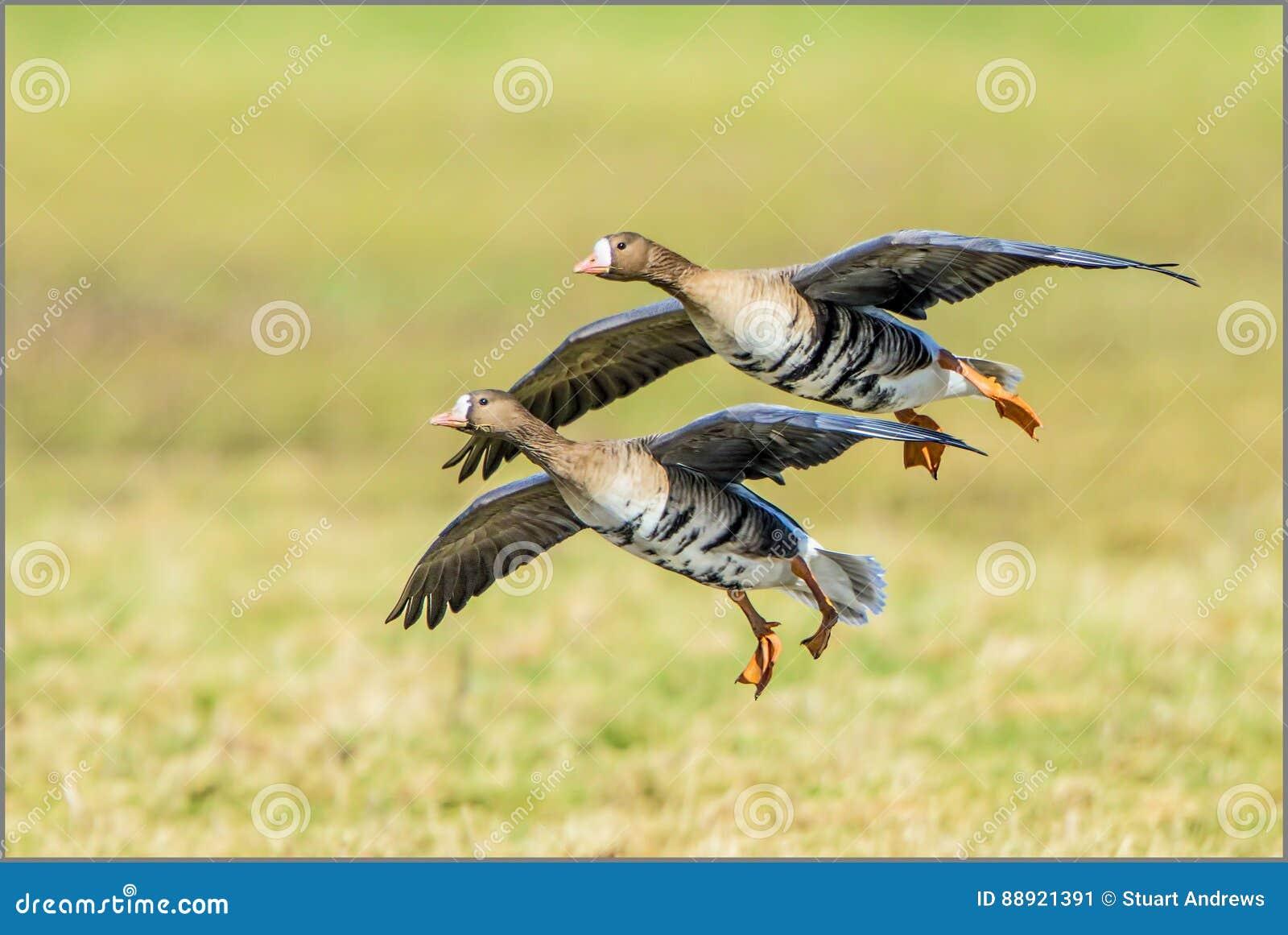 Maiores gansos de peito branco - albifrons do Anser
