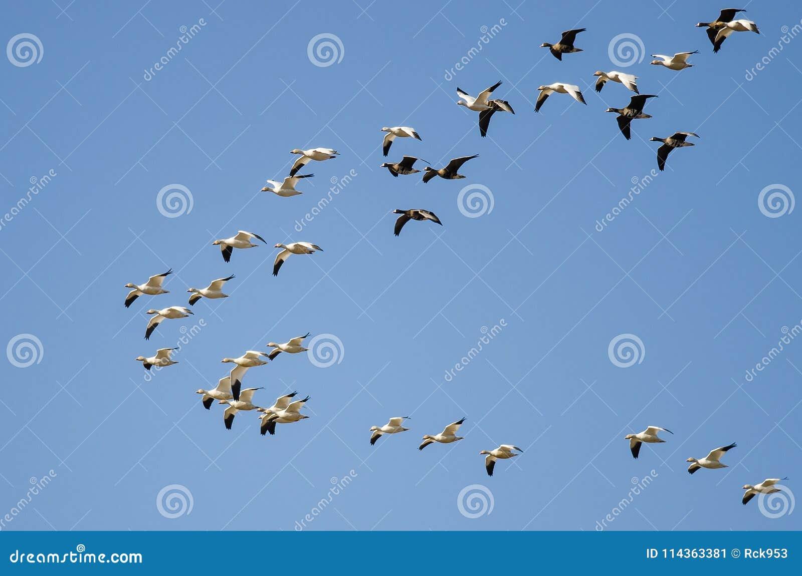 Maiores gansos de peito branco que voam entre os gansos de neve