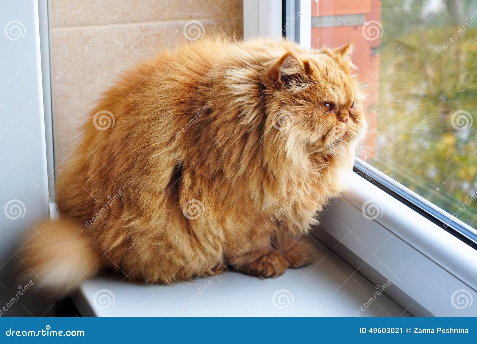 A maioria de gato engraçado do gengibre da glutão gorda