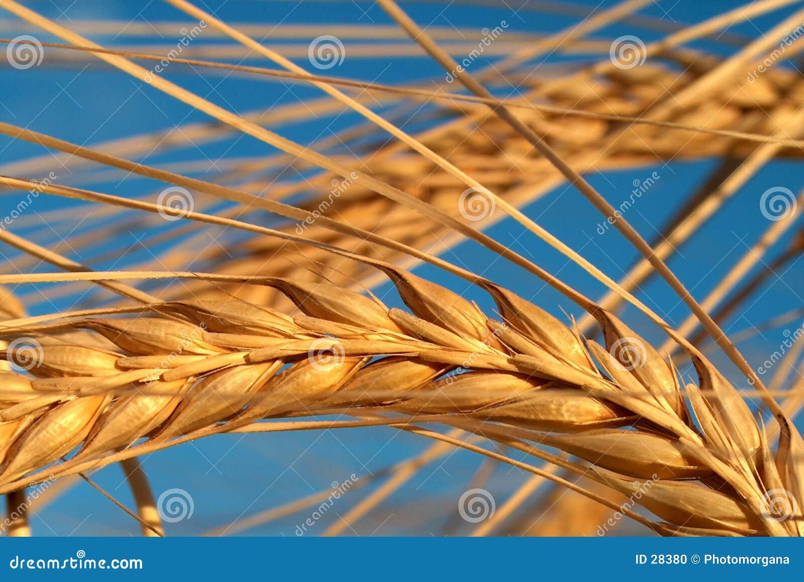 Download Mais stockfoto. Bild von blau, makro, landwirtschaft, sommer - 28380