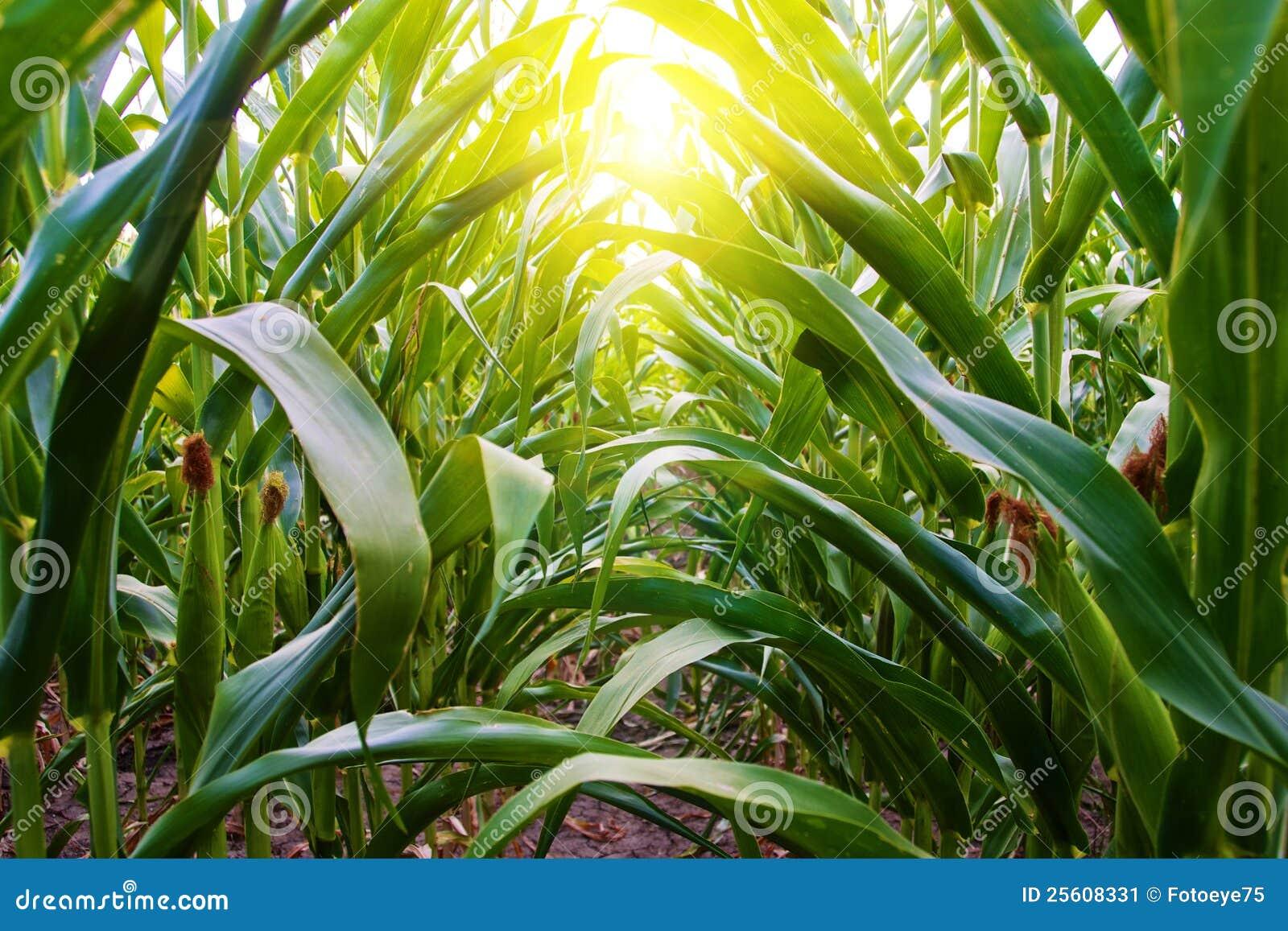 Mais-Reihe auf amischem Mittelwesten-Bauernhof