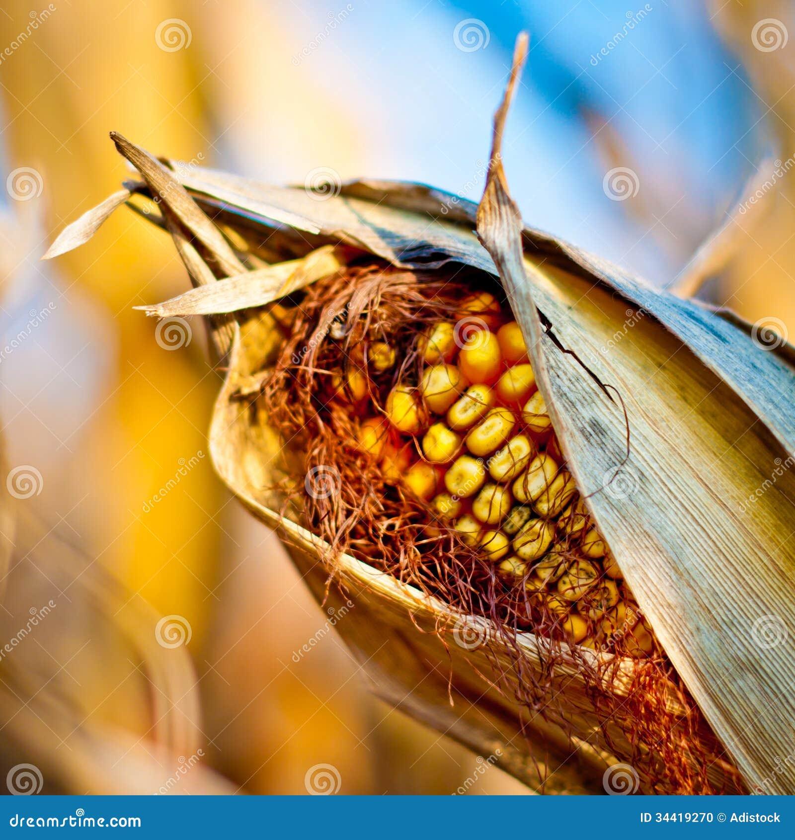 Maisnahaufnahme auf dem Stiel