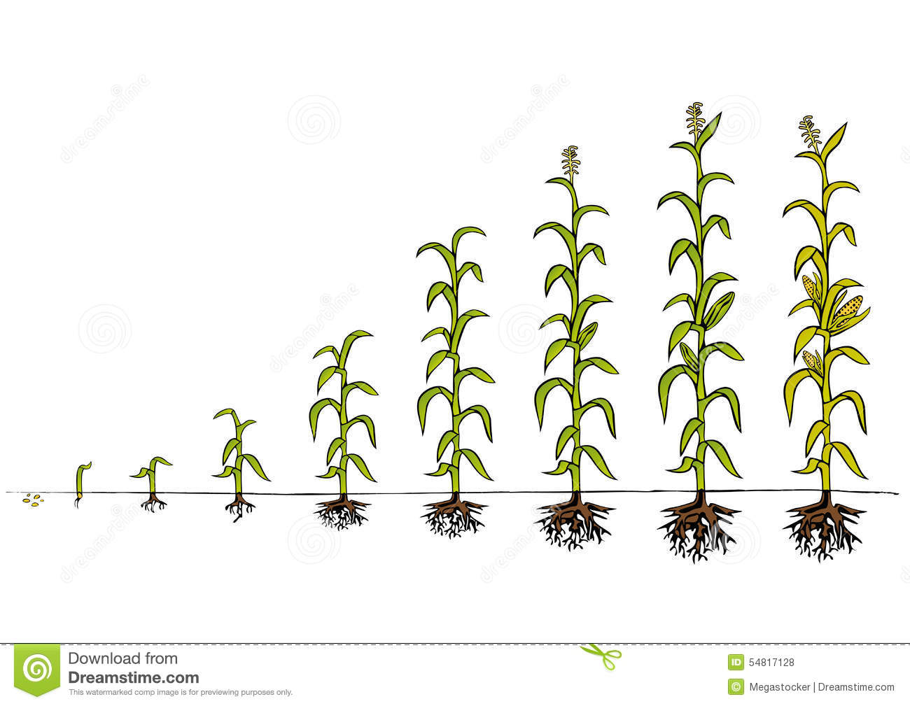 Plant Growth-Stages Of The Plant Development Royalty Free Stock ...