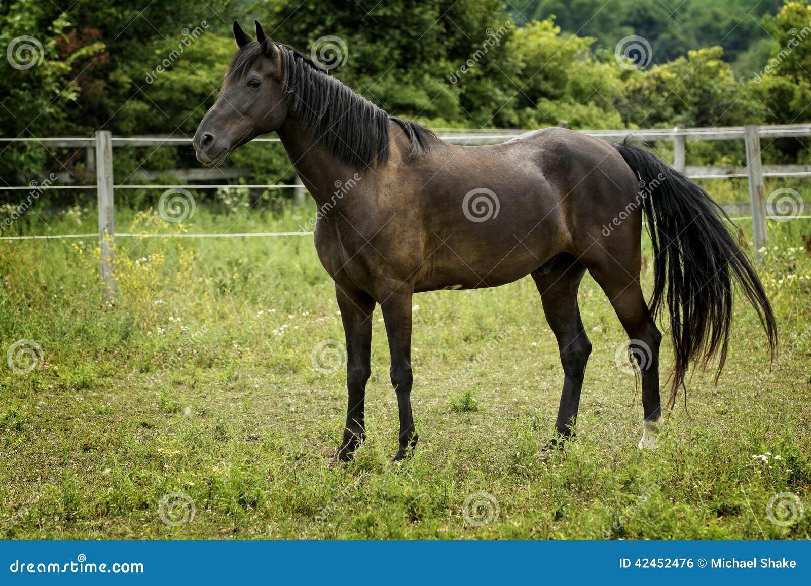 Majestätisches Hengst-Pferd in einer Weide
