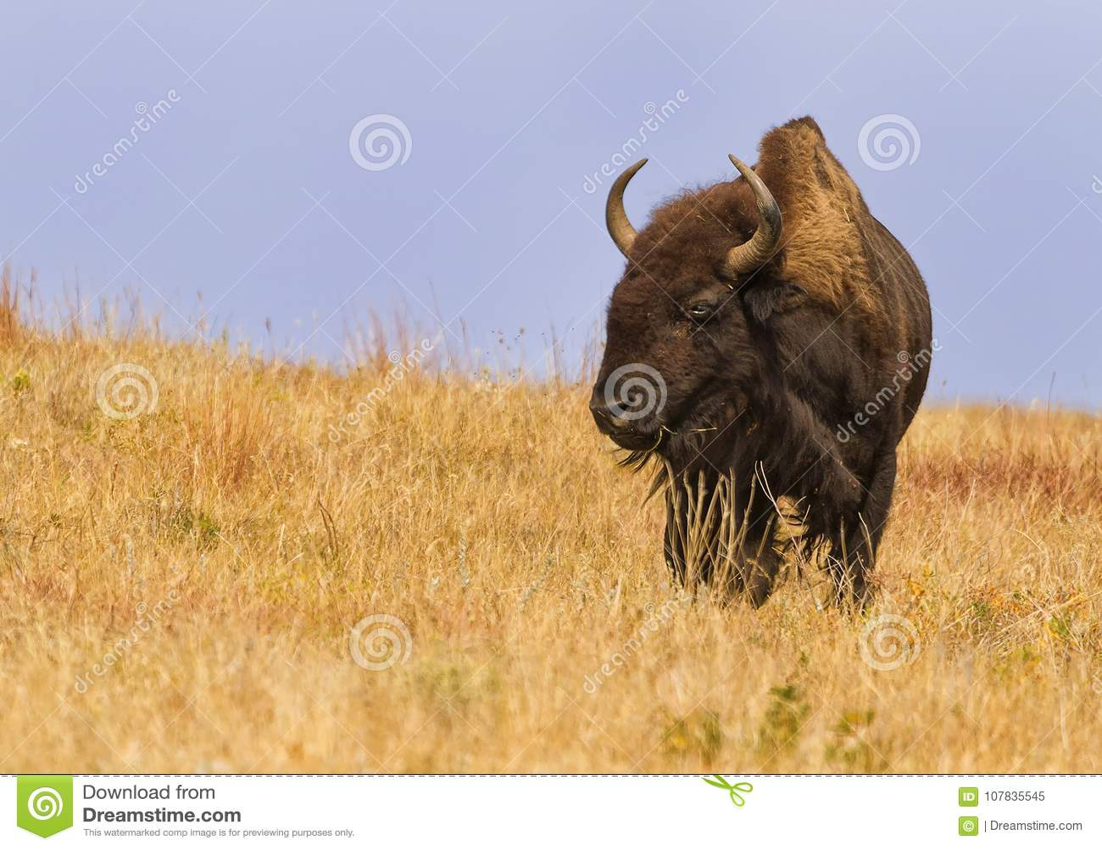 Majestätisk amerikansk buffelbisonbison i South Dakota