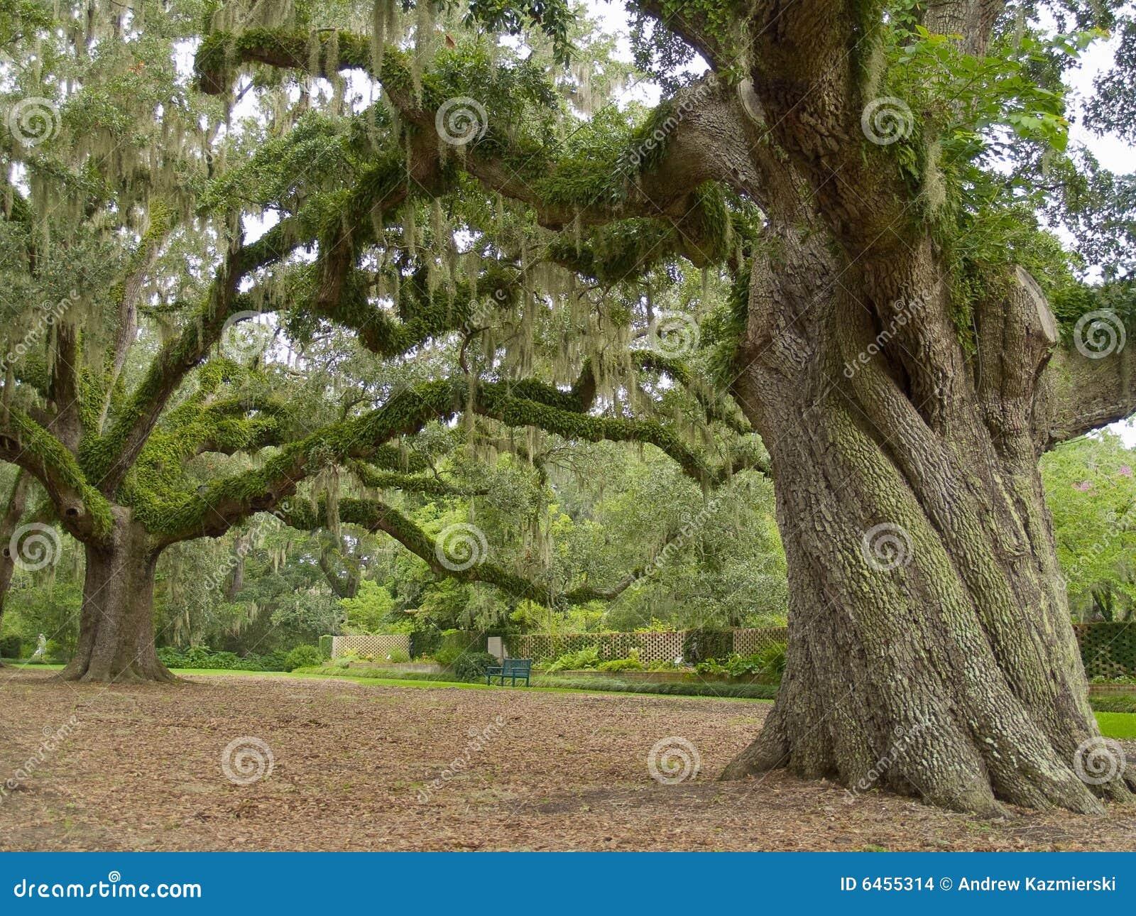 Majestätisk oak