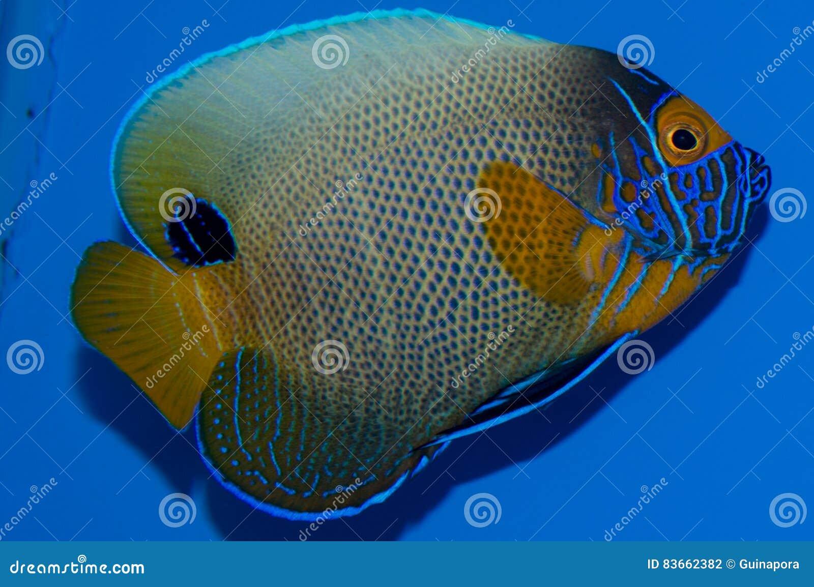 Majestatyczny Angelfish