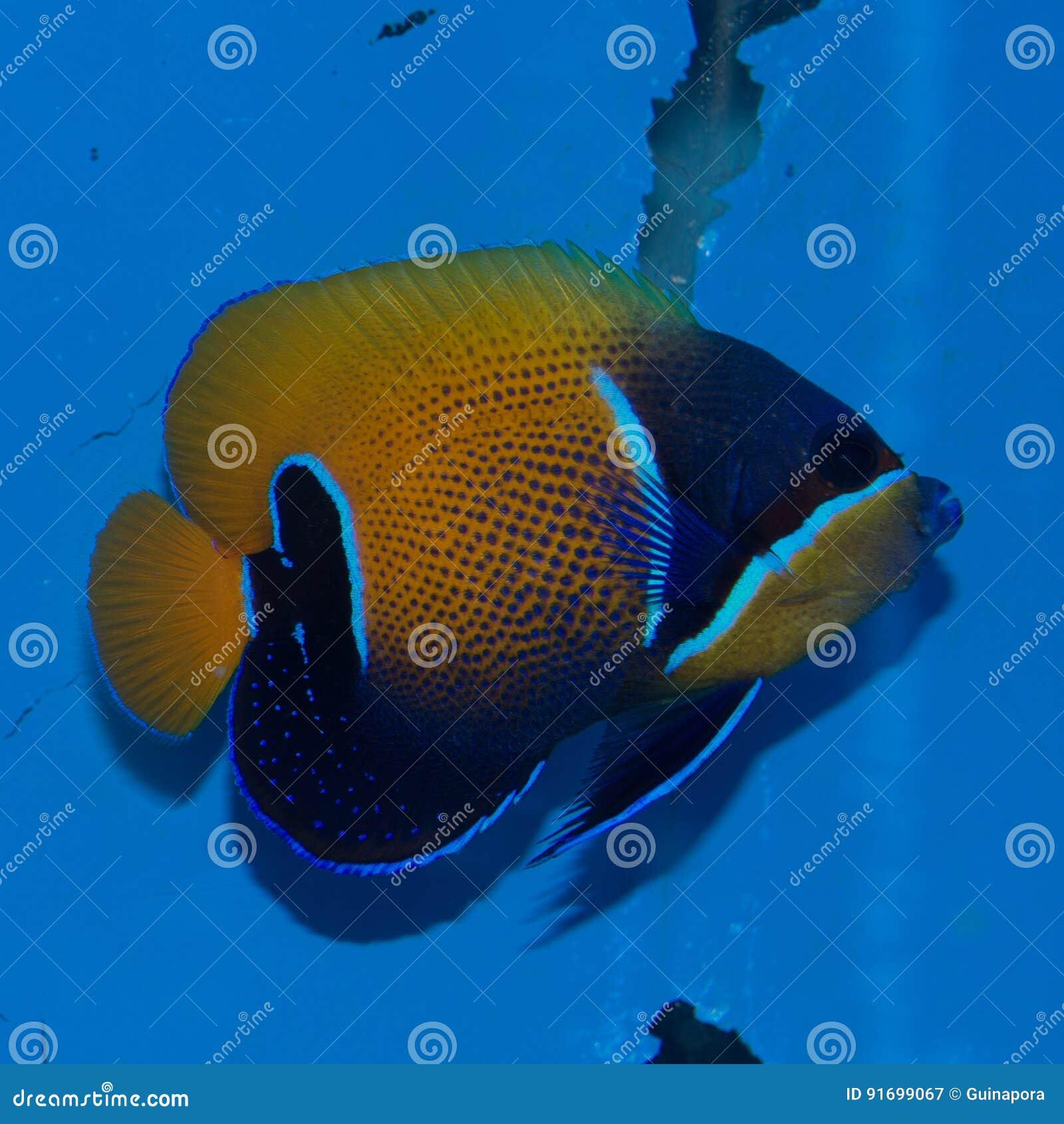 Majestic Angelfish Pomacanthus navarchus