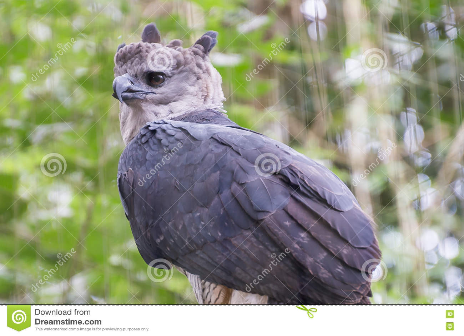 The majestic eagle harpy bird in Brazil