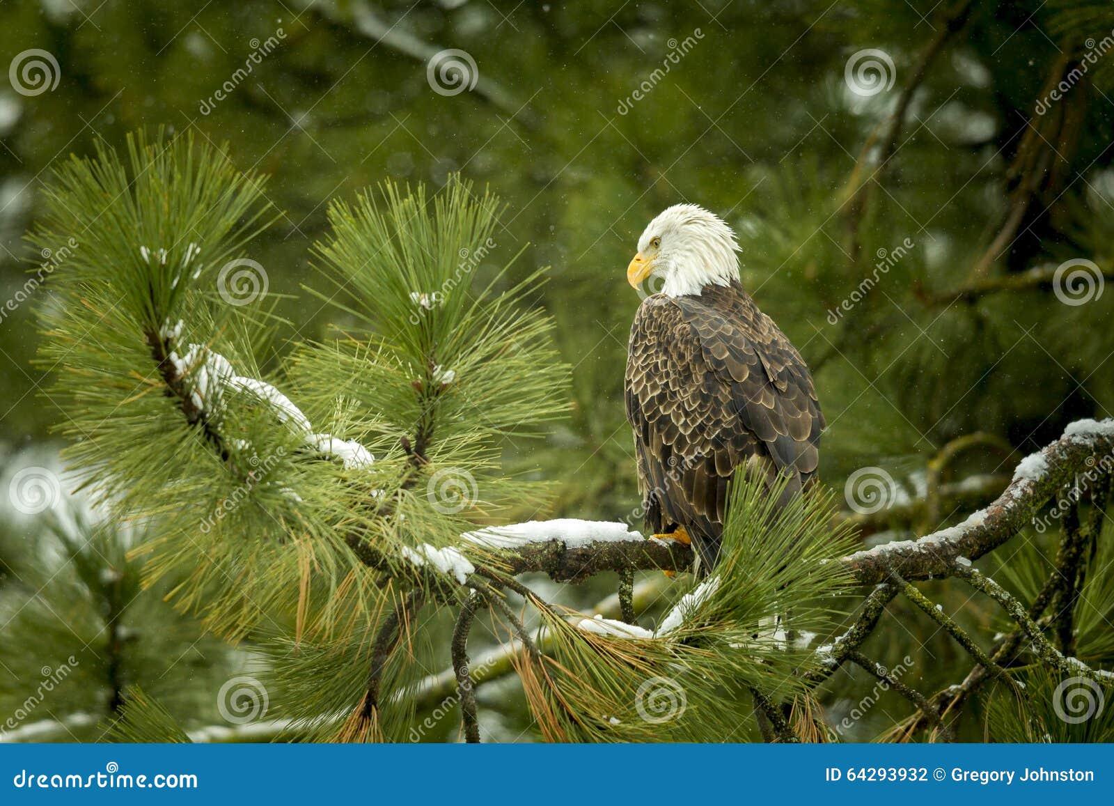 Majestic eagle in tree.