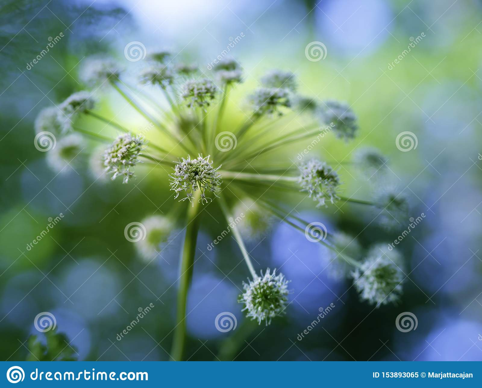Majestic flower of angelica blooming