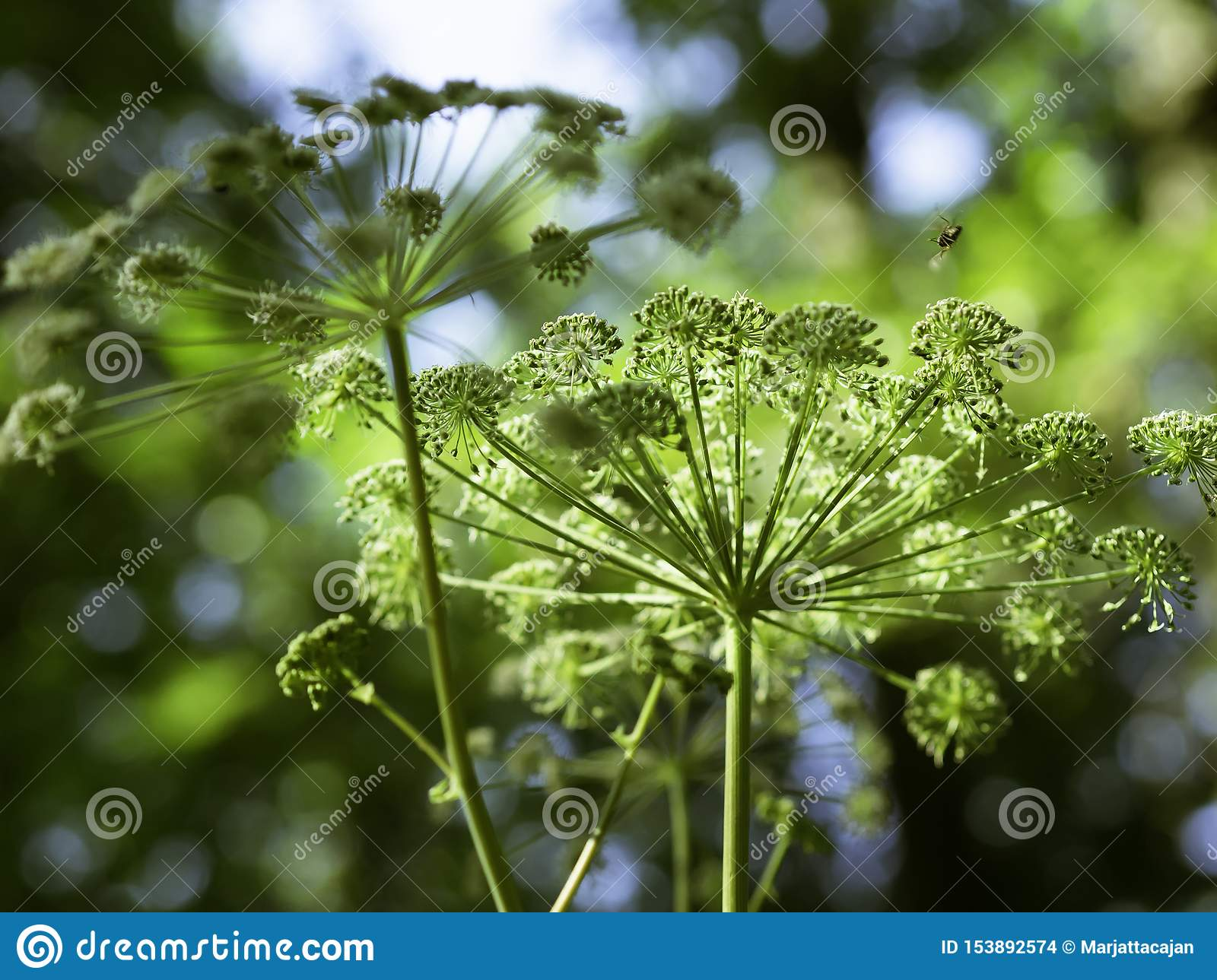 Majestic flowers of angelica blooming