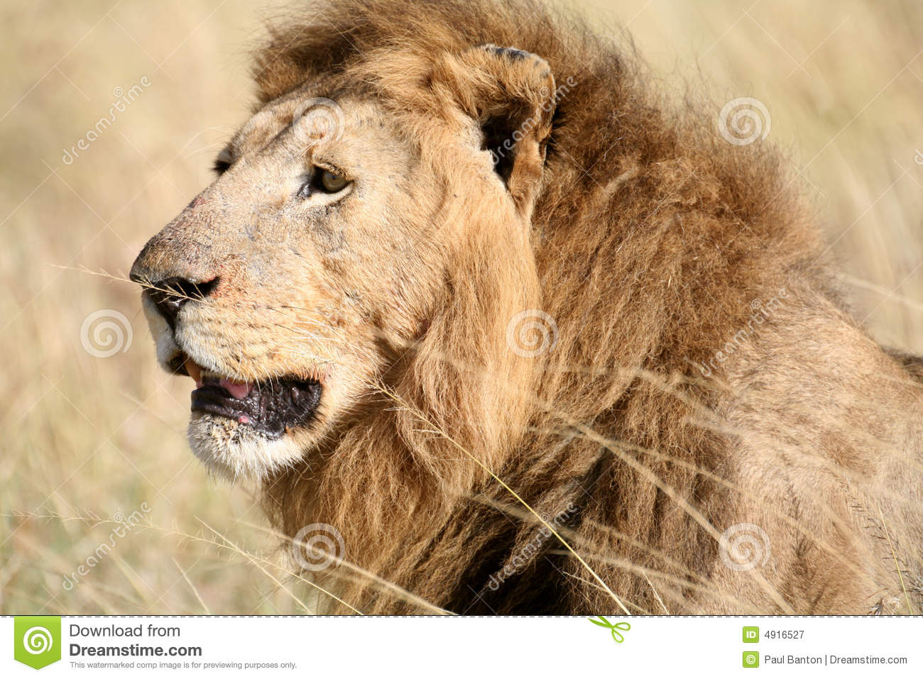 Majestic lion head in the grass