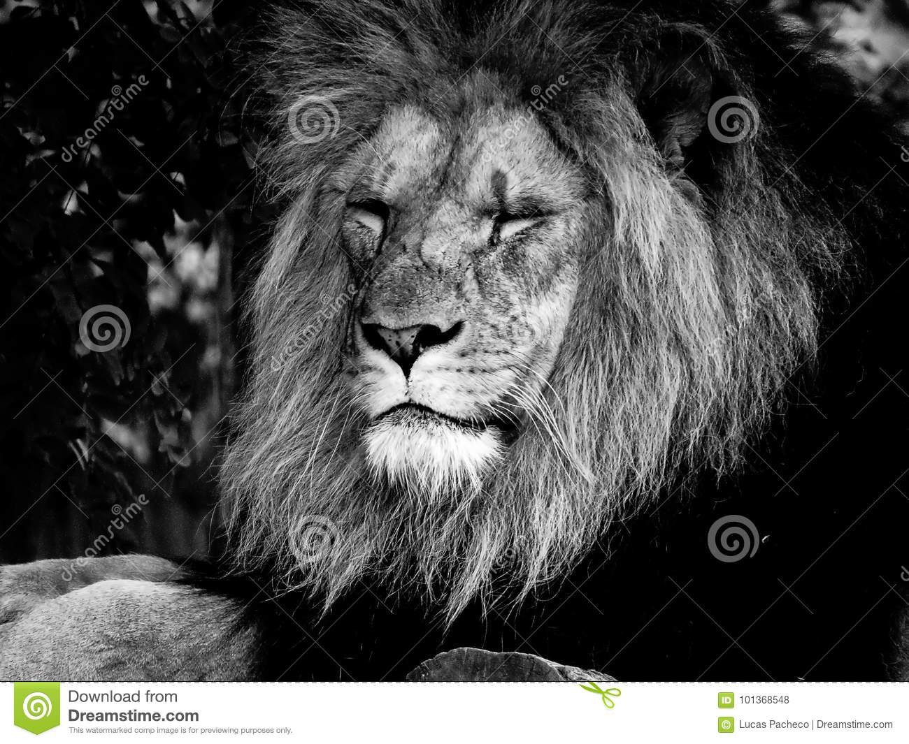 Closeup to the face of a majestic male lion in black and white