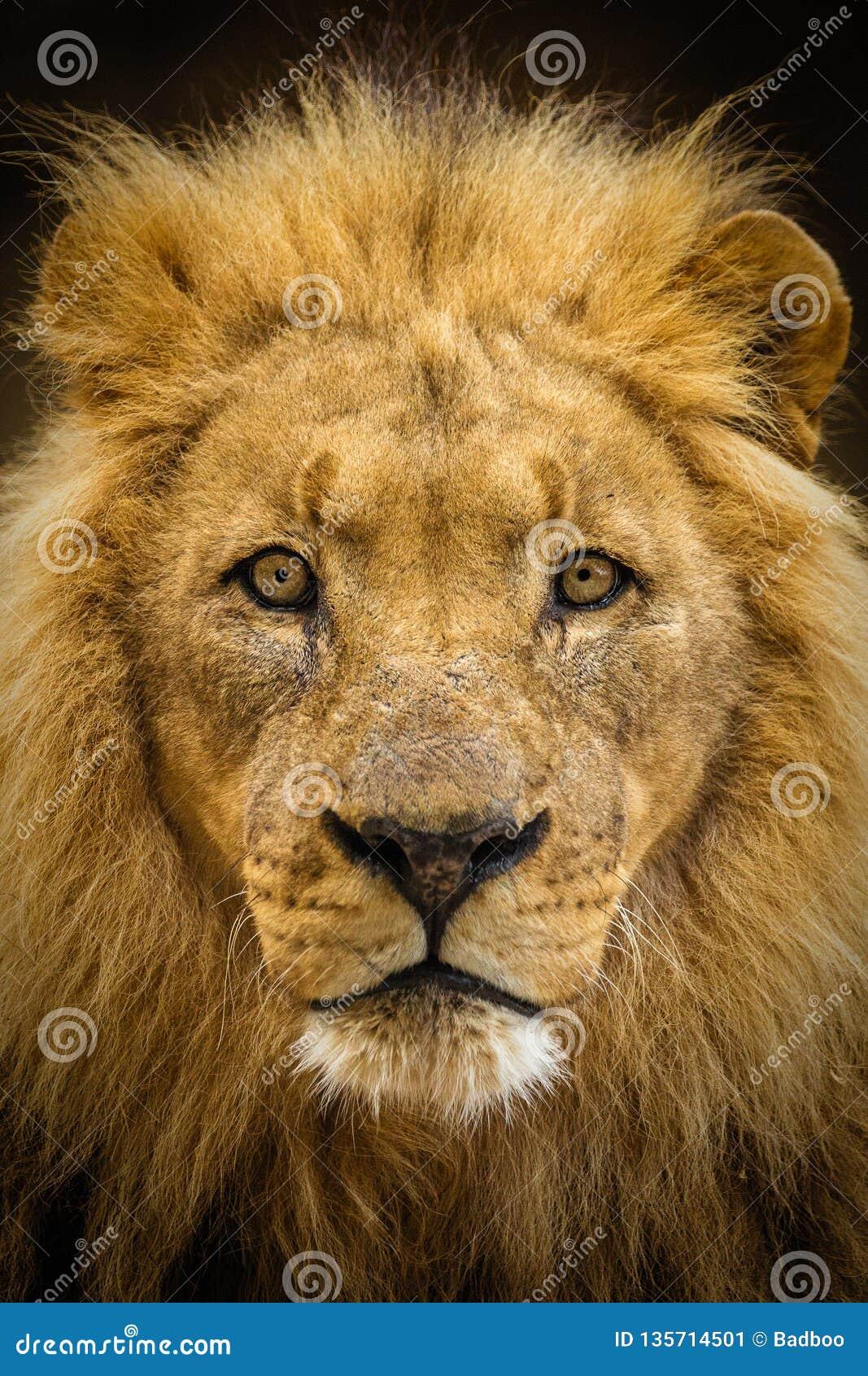 Majestic male lion portrait