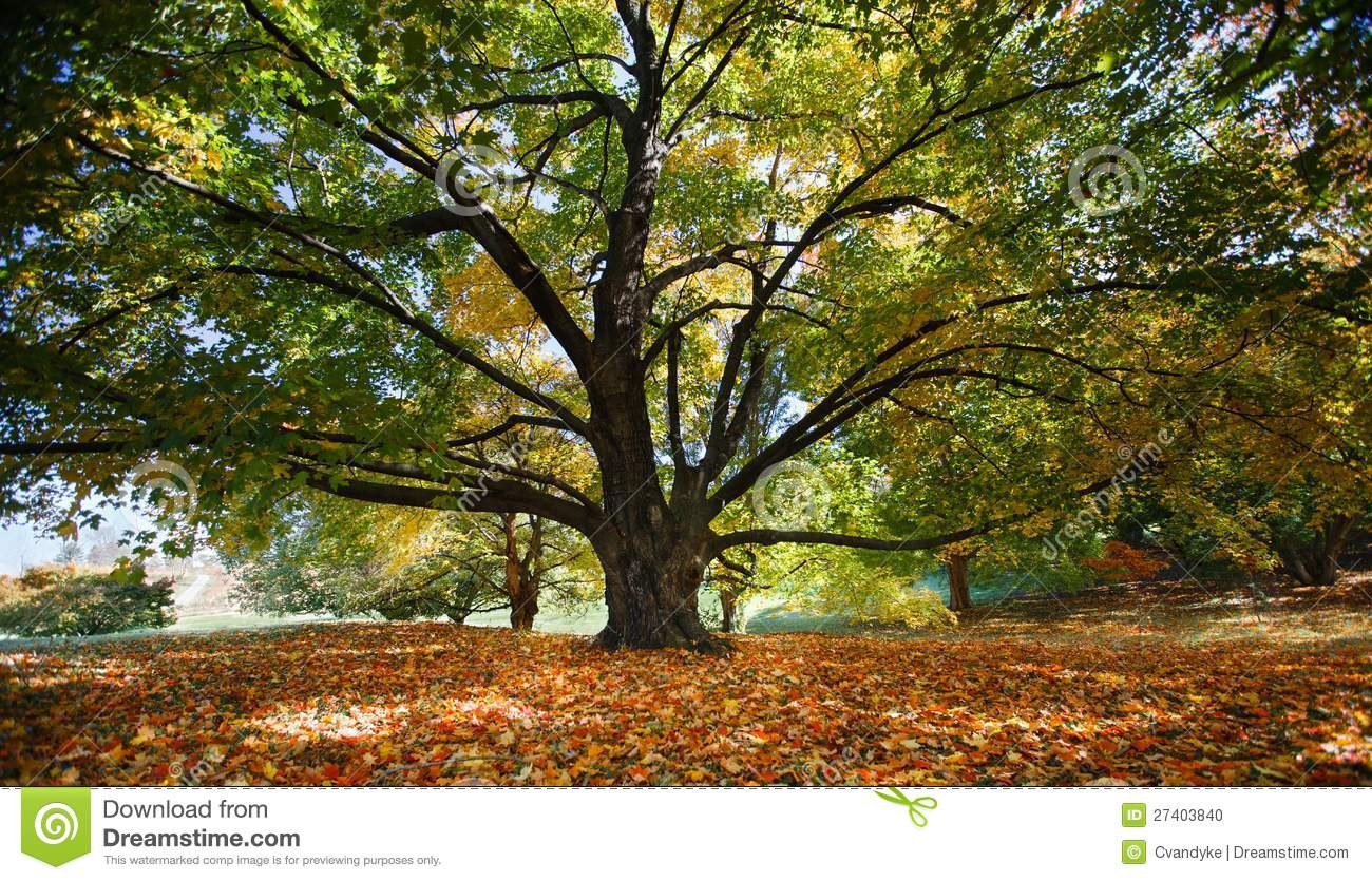 Majestic Maple Tree Trunk And Branches Virginia Stock