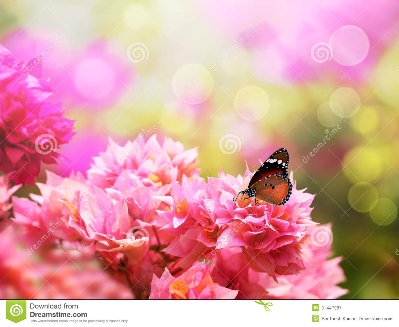 Beautiful pink flowers in the garden stock photography image - Majestic Monarch Butterfly On Beautiful Bougainvillea