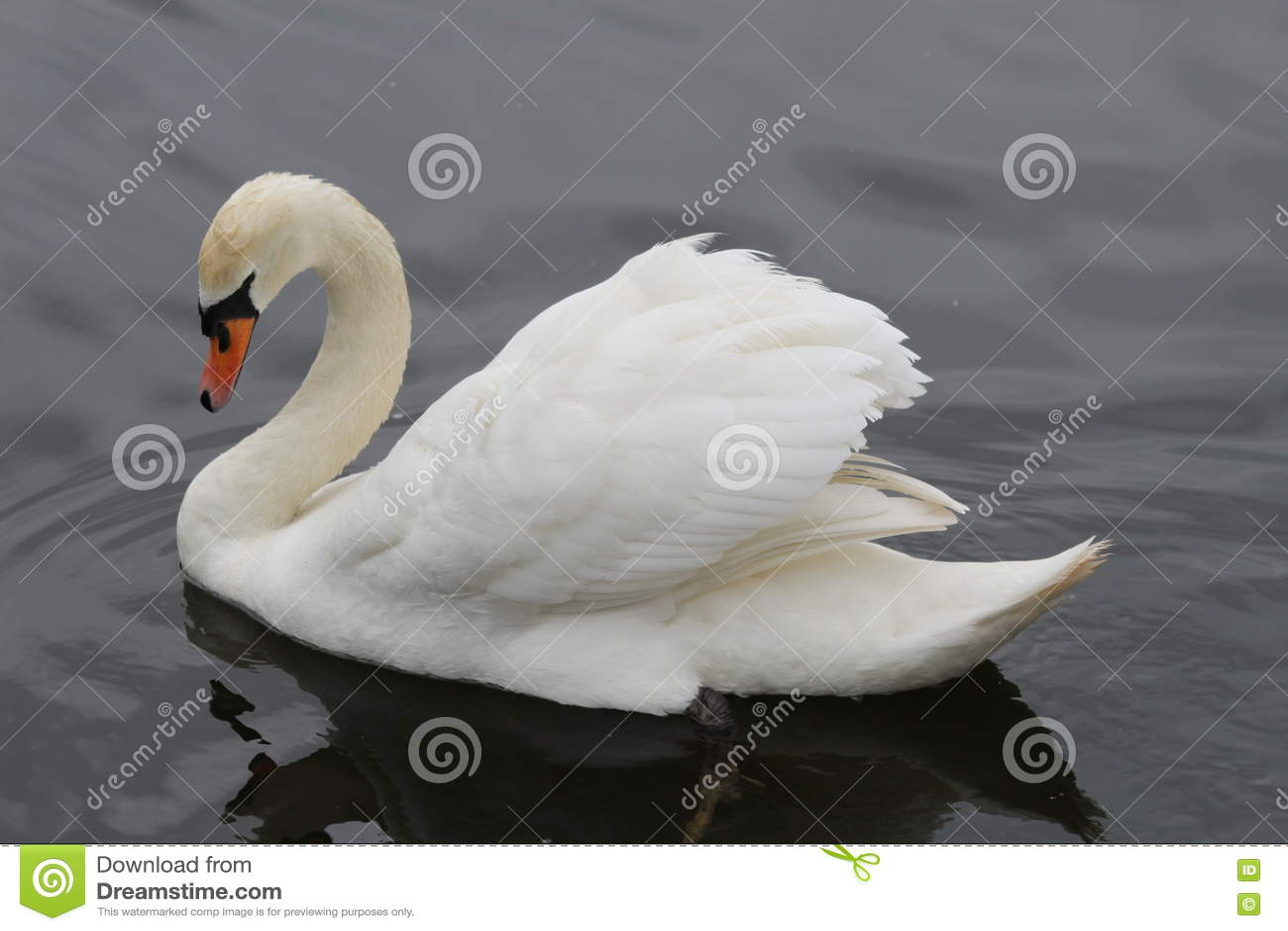 Majestic Mute Swan