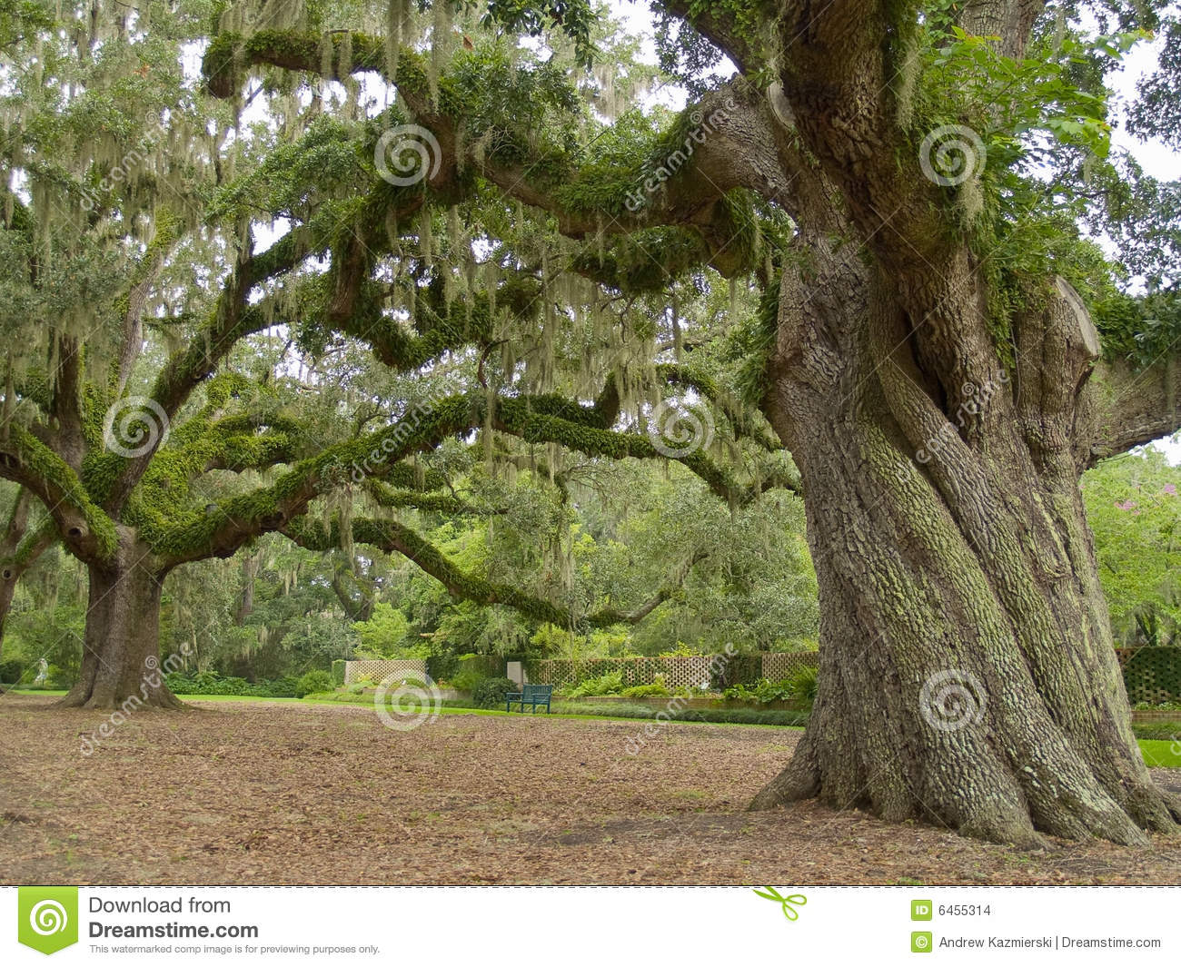 Majestic Oak