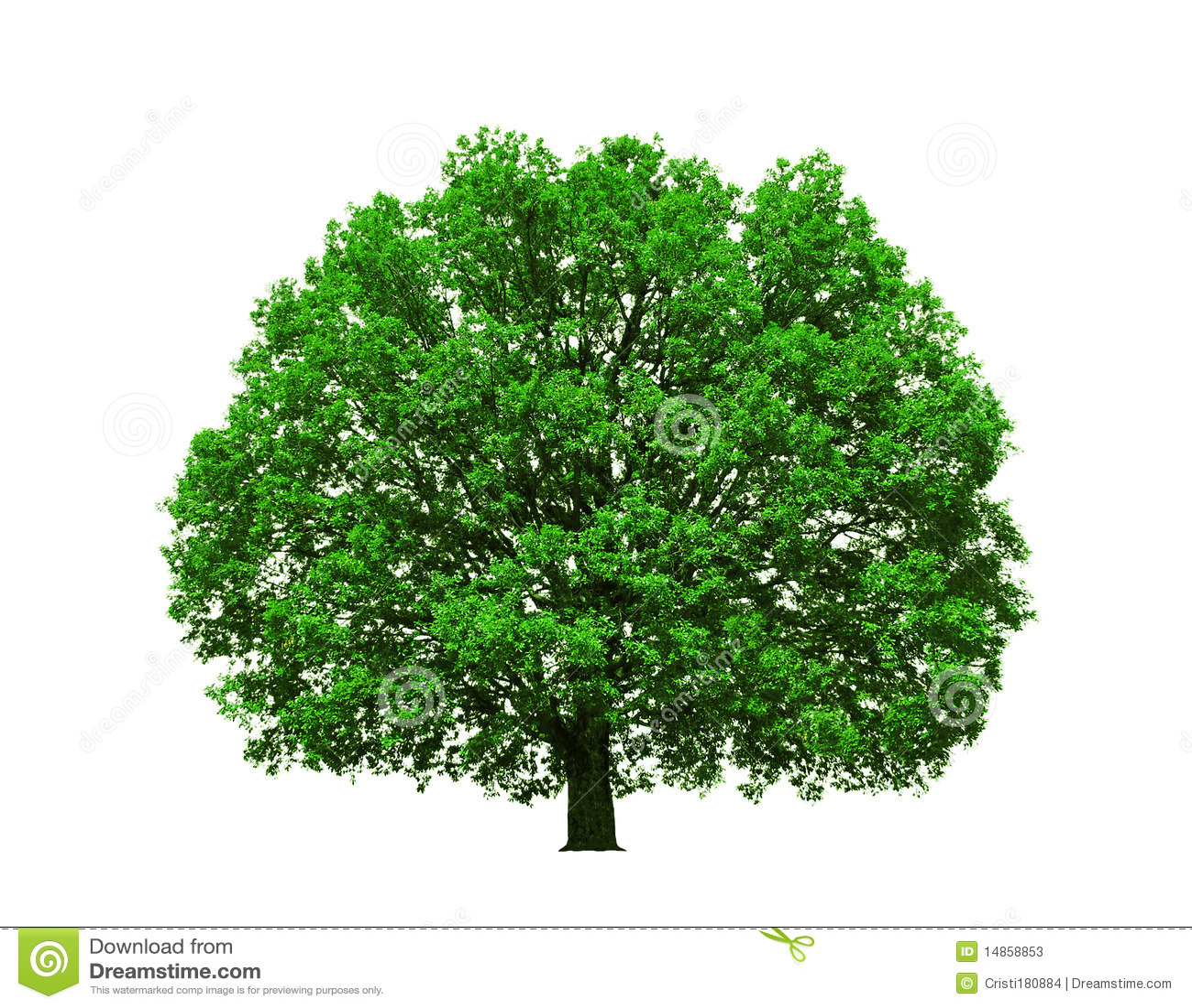 Majestic oak tree isolated