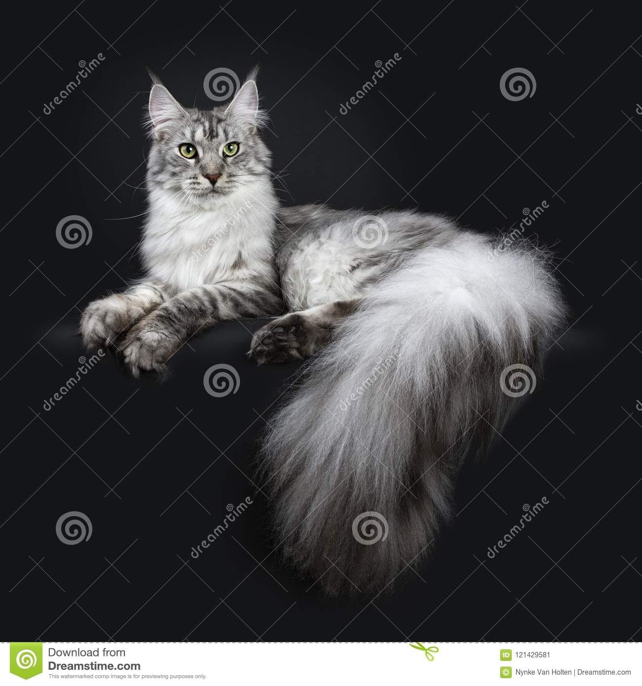 Majestic Silver Tabby Young Adult Maine Coon Cat Laying Side Ways