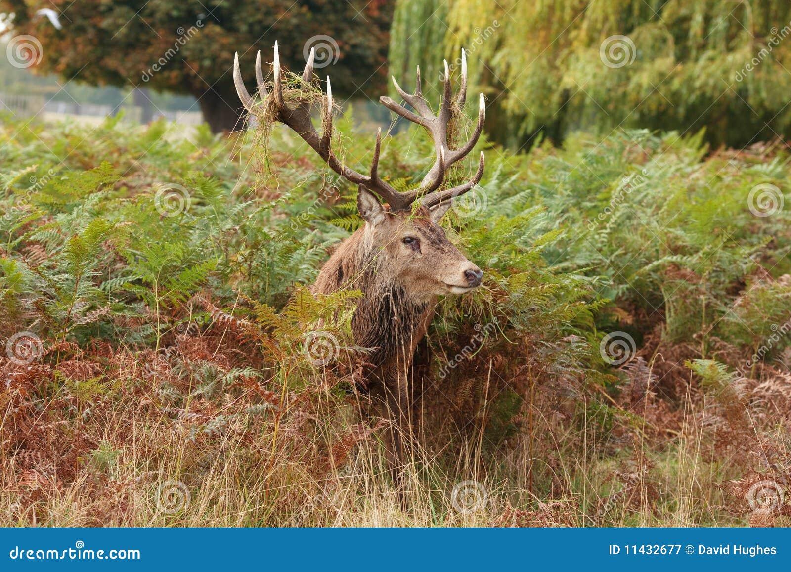 Sex red deer