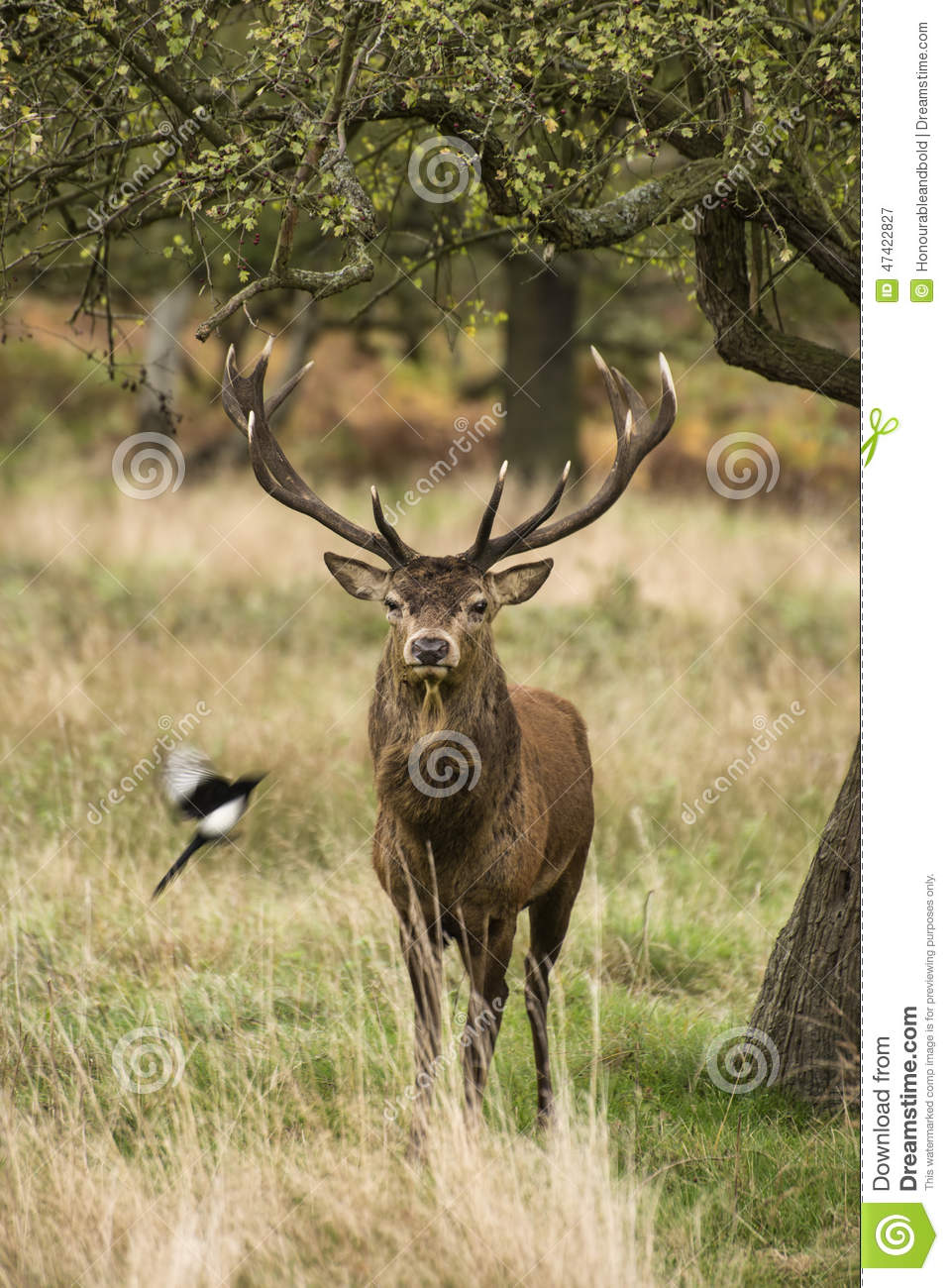 Landscaping Ties Red Deer : Majestic stunning red deer stag in autumn fall landscape stock photo image