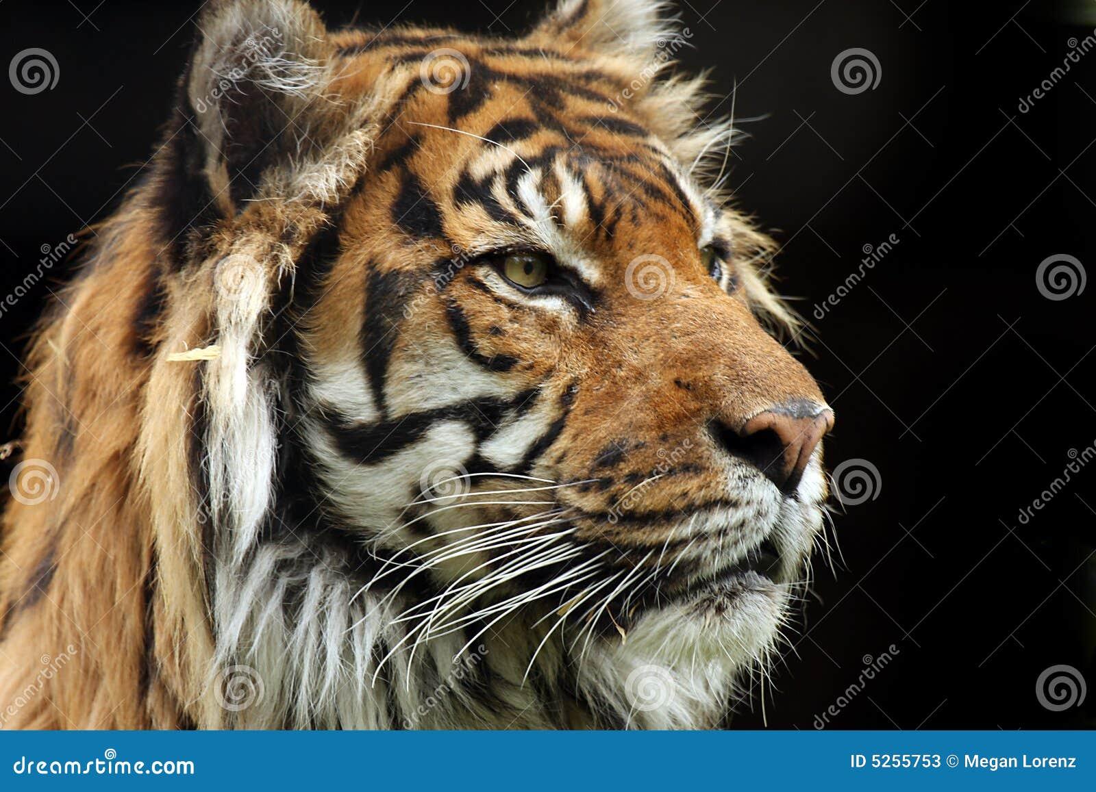 Majestic Tiger Stock Photos - Image: 5255753