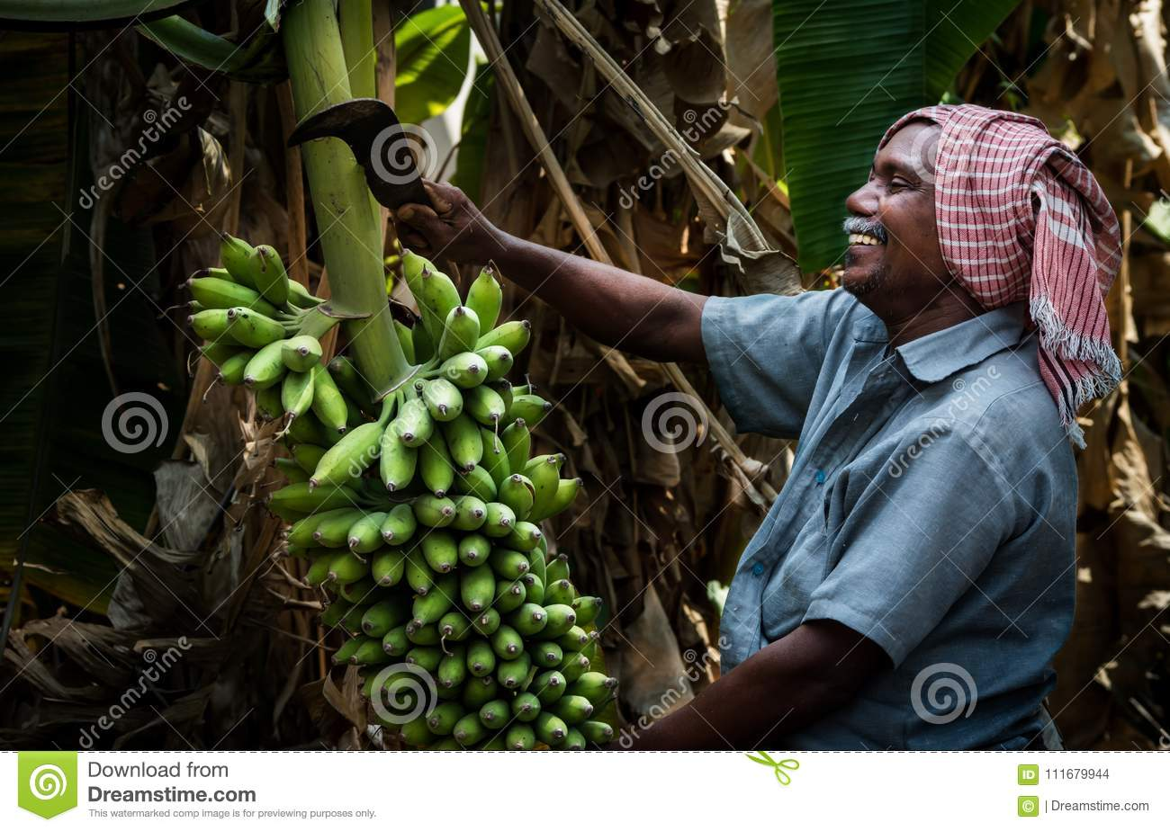 Banana tree Agriculture in kerala
