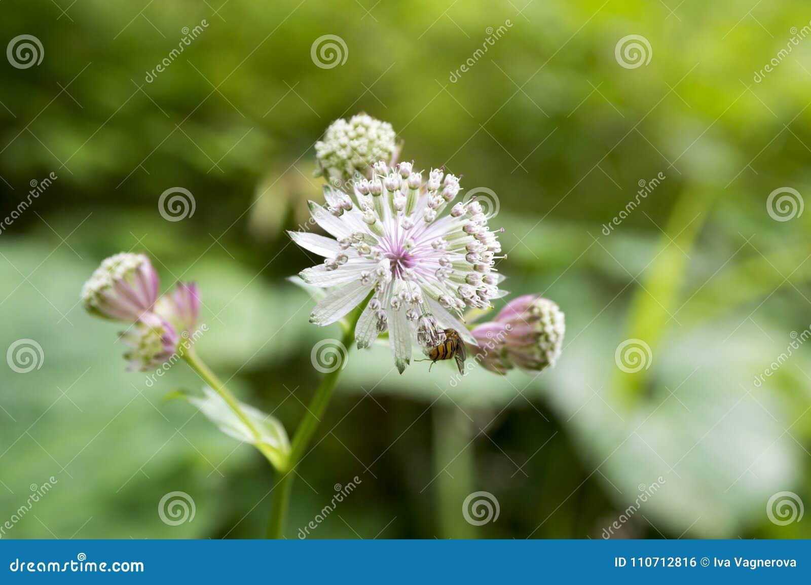 Major do Astrantia, grande masterwort na flor, plantas de florescência herbáceas