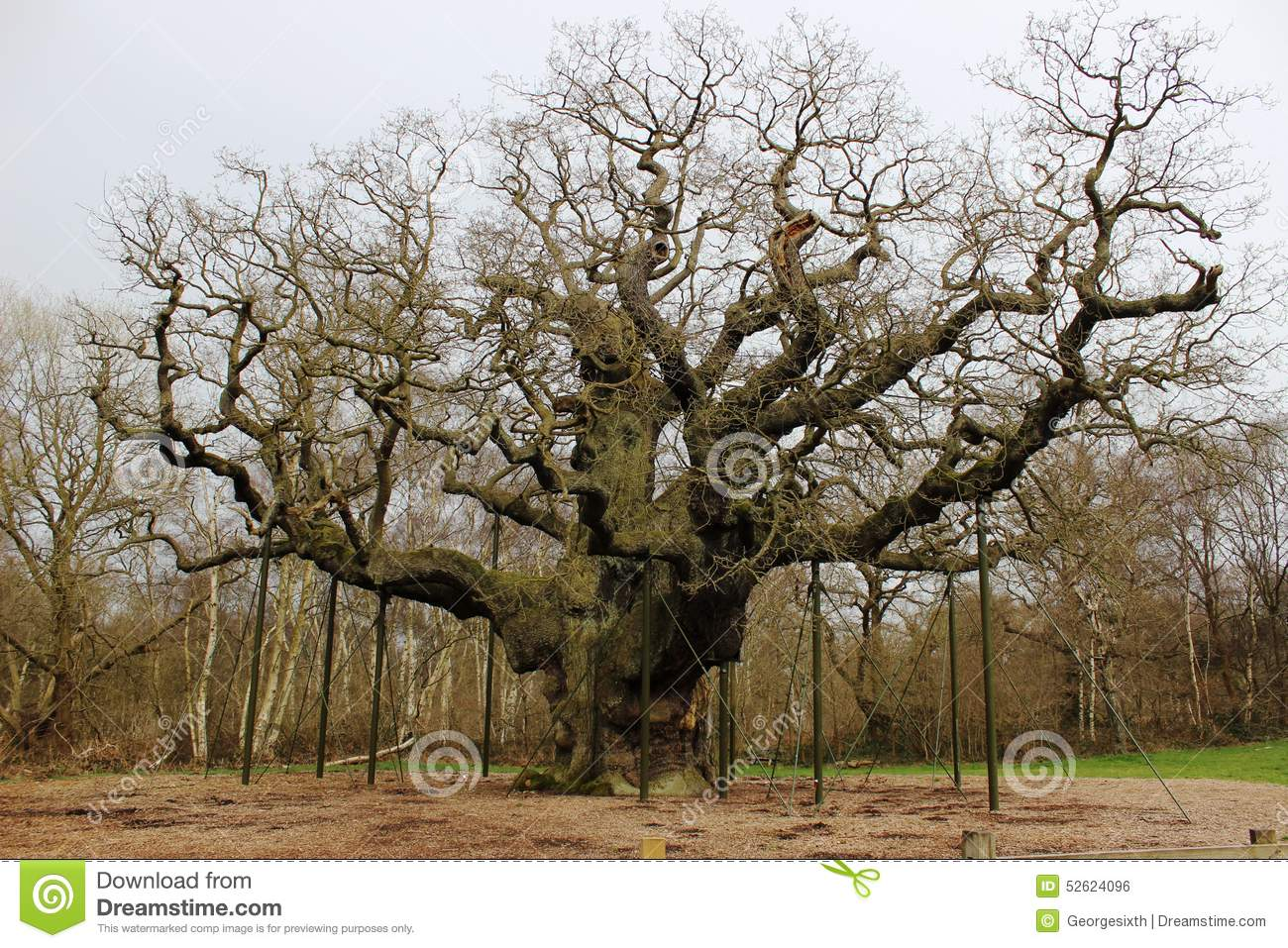 Major Oak, Sherwood Forest Nottinghamshire England