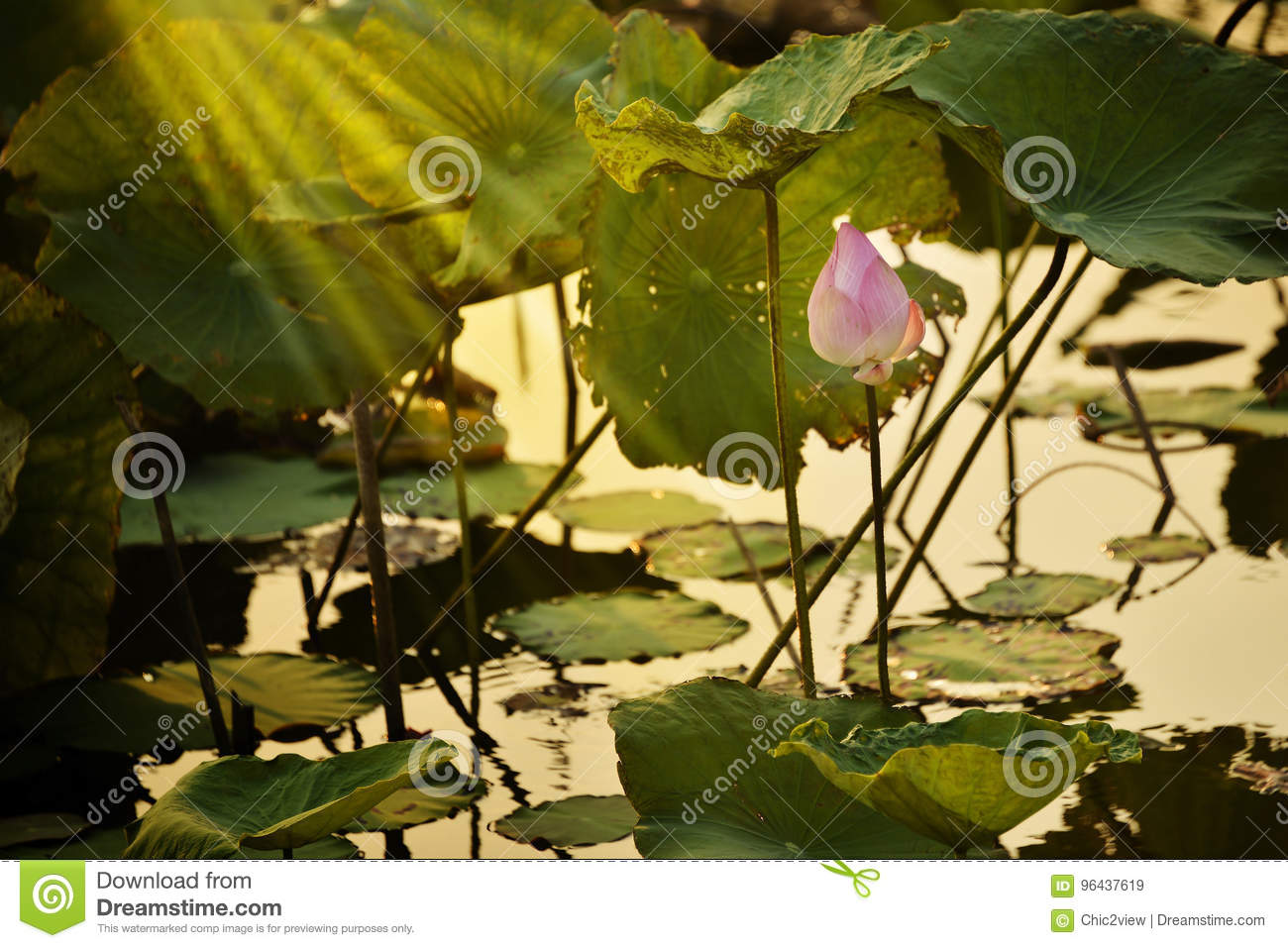 Make meditation with Indian Lotus, Sacred Lotus, Bean of India in lagoon picture with evening light