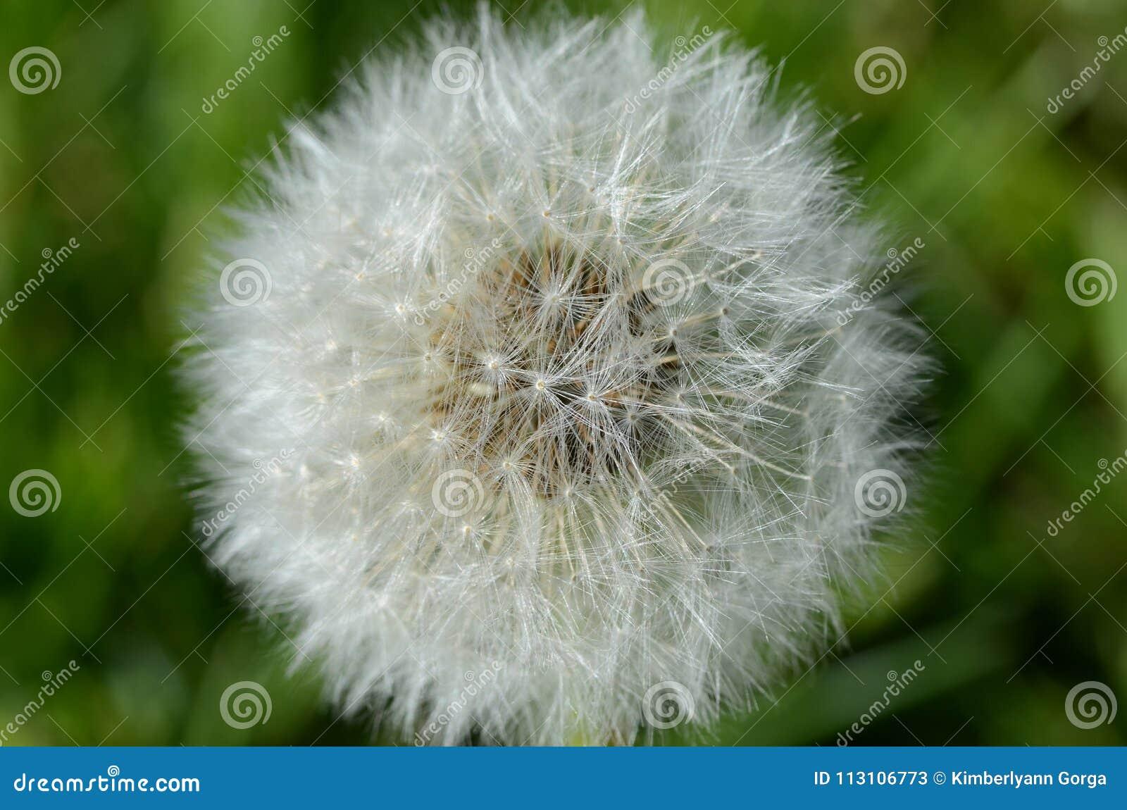 Dandelion Seed Pod in Macro