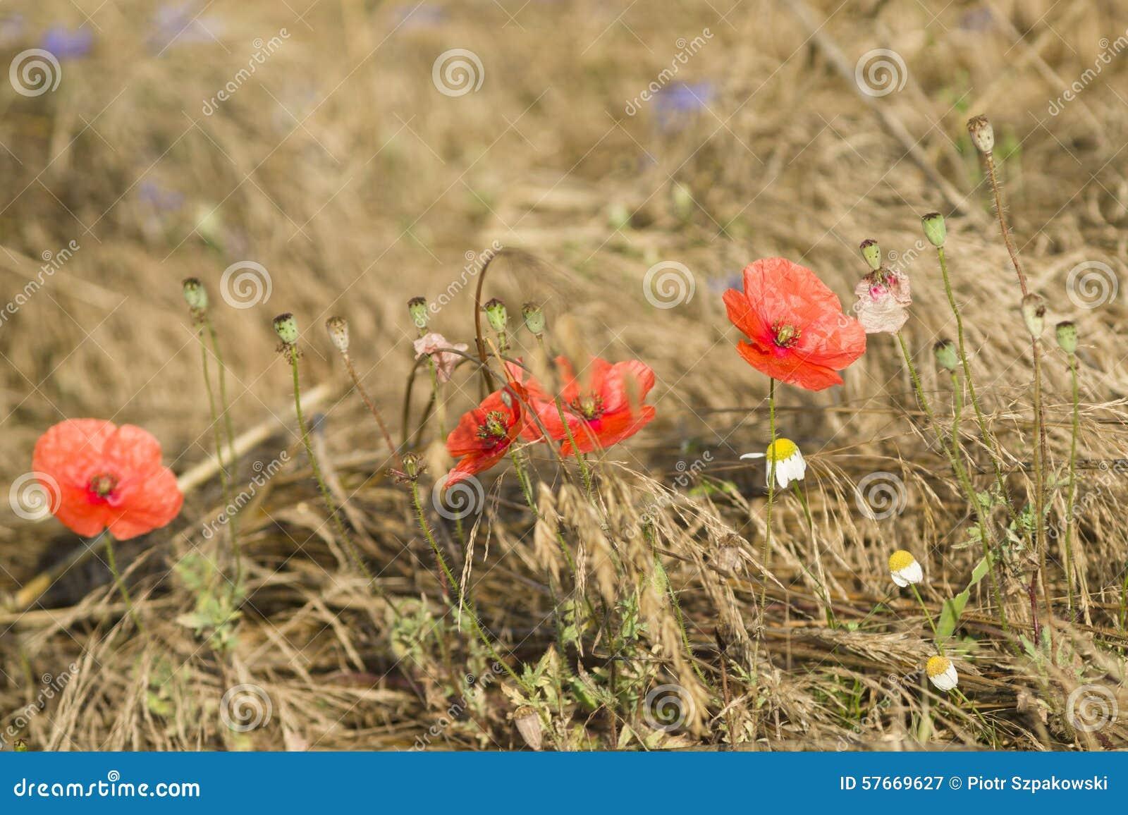 Makowi kwiaty